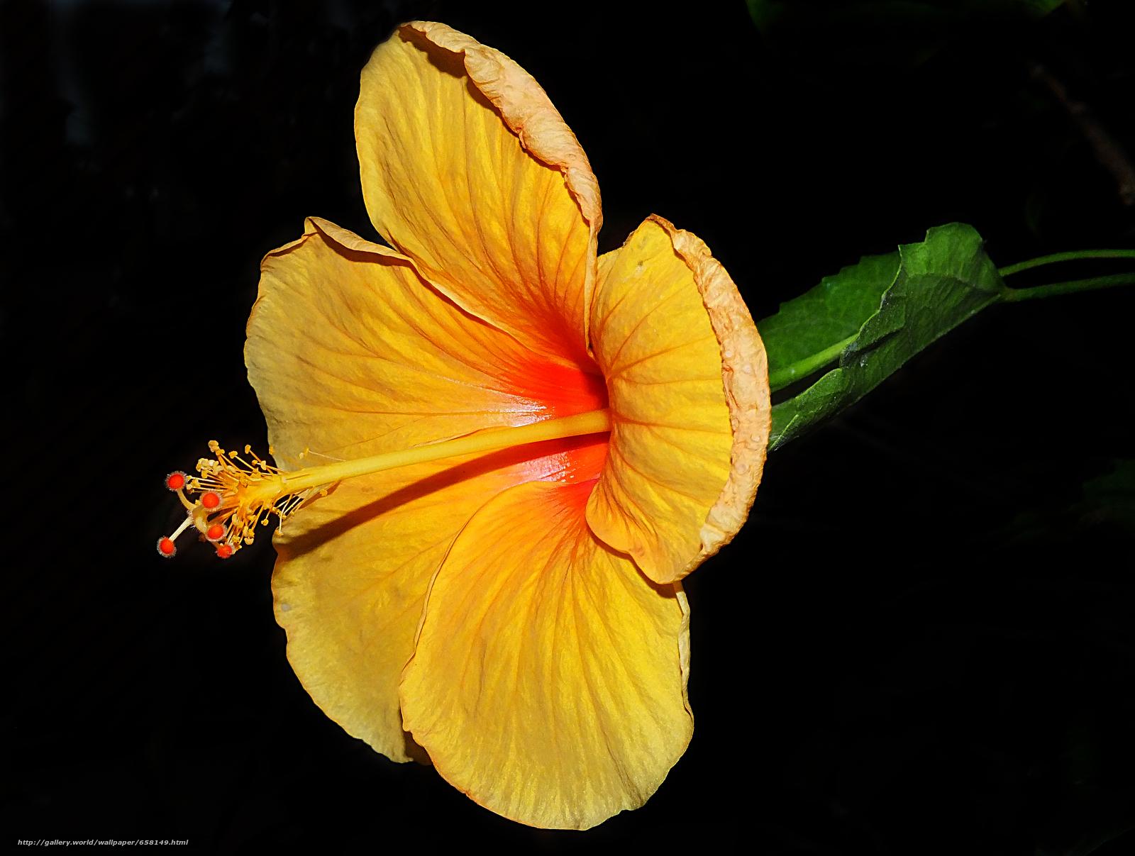Скачать обои Гибискус,  Hibiscus,  цветы,  цветок бесплатно для рабочего стола в разрешении 4272x3224 — картинка №658149