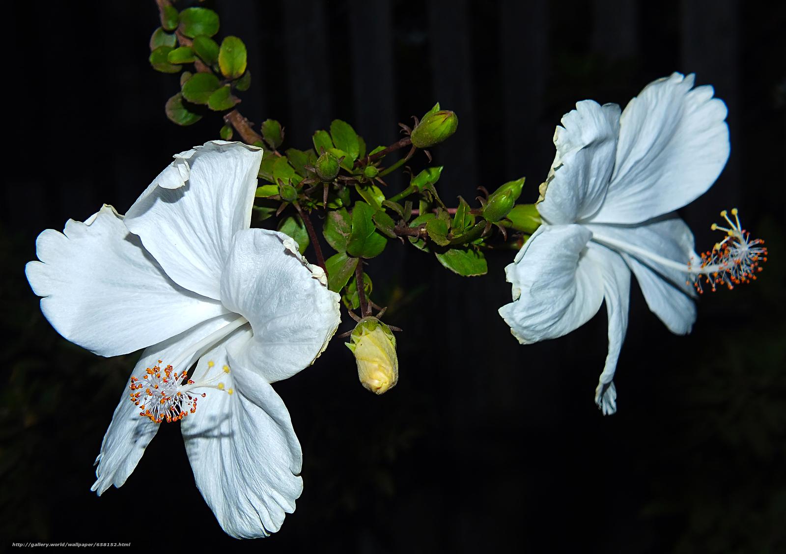 Tlcharger Fond d'ecran hibiscus,  Hibiscus,  Fleurs,  fleur Fonds d'ecran gratuits pour votre rsolution du bureau 4608x3248 — image №658152