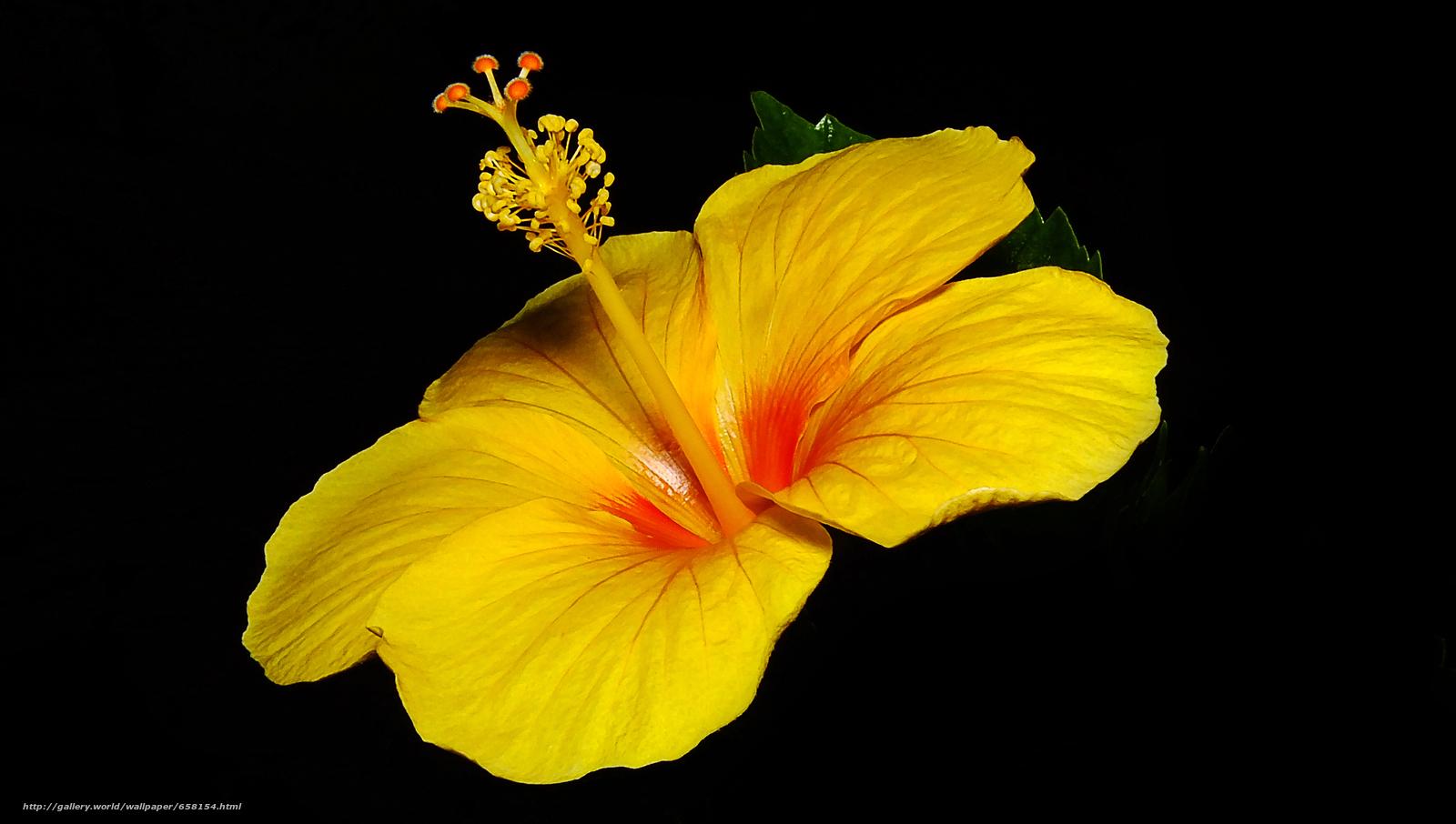 scaricare gli sfondi ibisco,  Ibisco,  Fiori,  fiore Sfondi gratis per la risoluzione del desktop 4608x2610 — immagine №658154