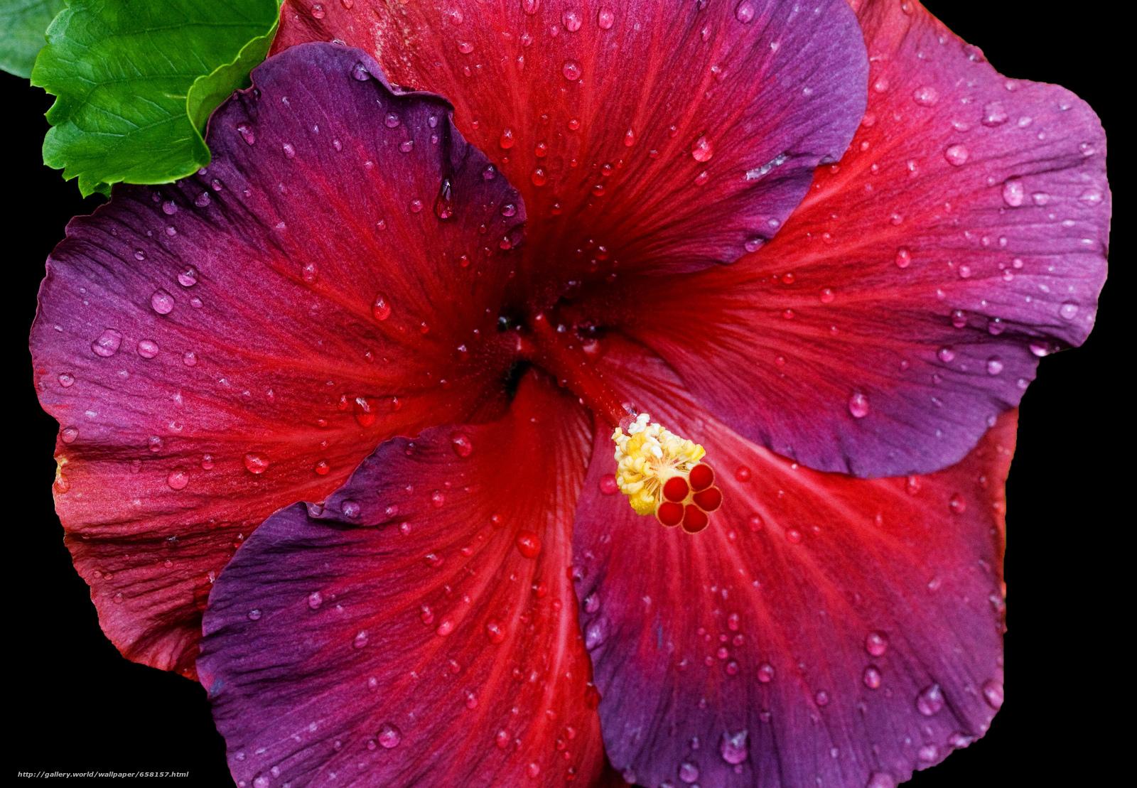 Download Hintergrund Hibiskus,  Hibiskus,  Blumen,  Blume Freie desktop Tapeten in der Auflosung 3617x2508 — bild №658157