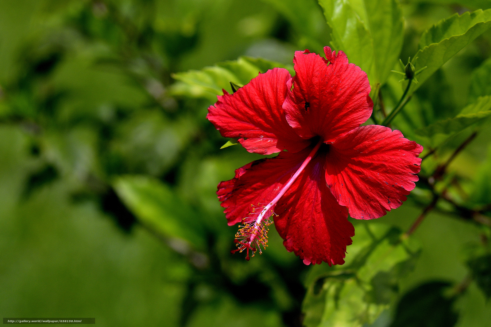 Скачать обои Гибискус,  Hibiscus,  цветы,  цветок бесплатно для рабочего стола в разрешении 4192x2795 — картинка №658158