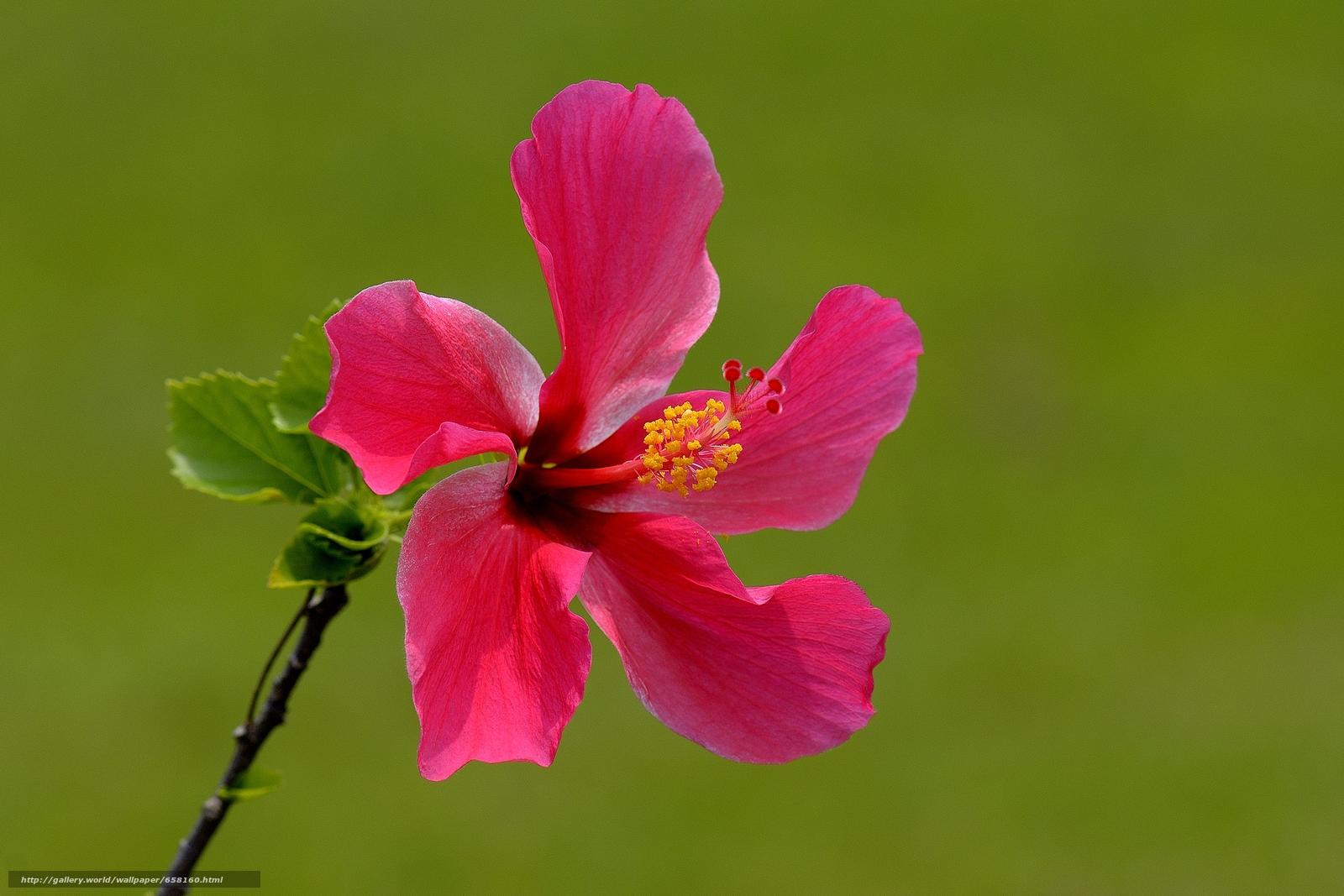 scaricare gli sfondi ibisco,  Ibisco,  Fiori,  fiore Sfondi gratis per la risoluzione del desktop 4385x2923 — immagine №658160