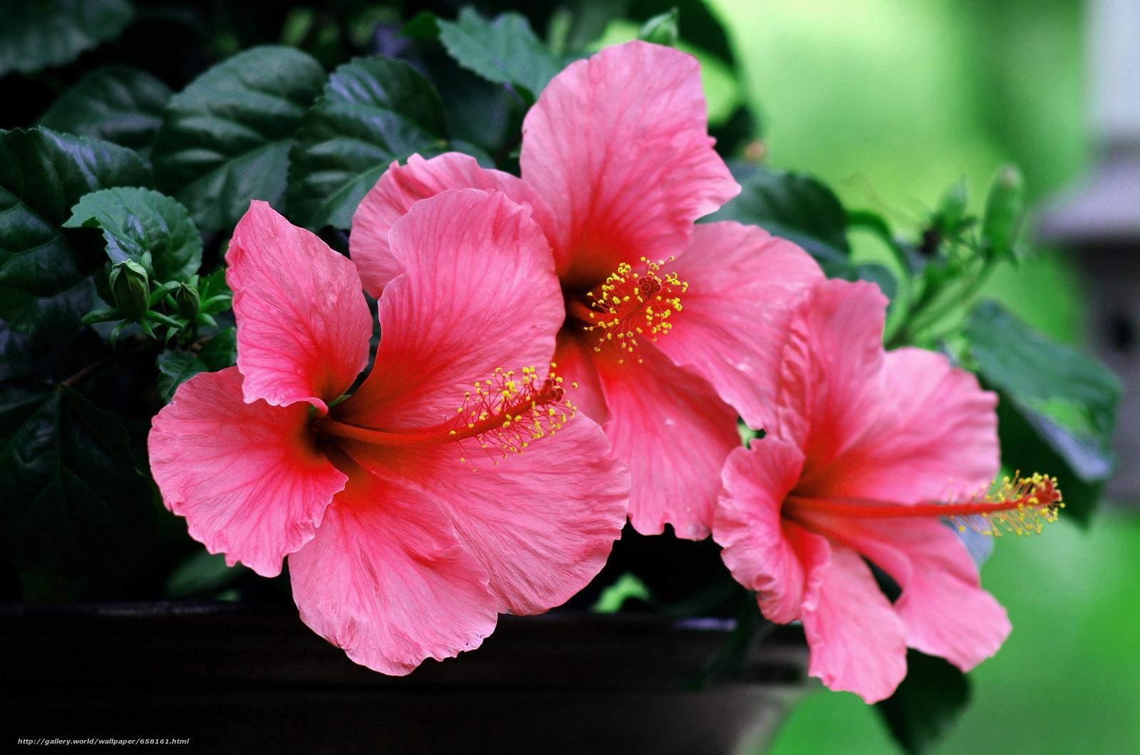 Descargar gratis hibisco,  Hibisco,  Flores,  flor Fondos de escritorio en la resolucin 4928x3264 — imagen №658161
