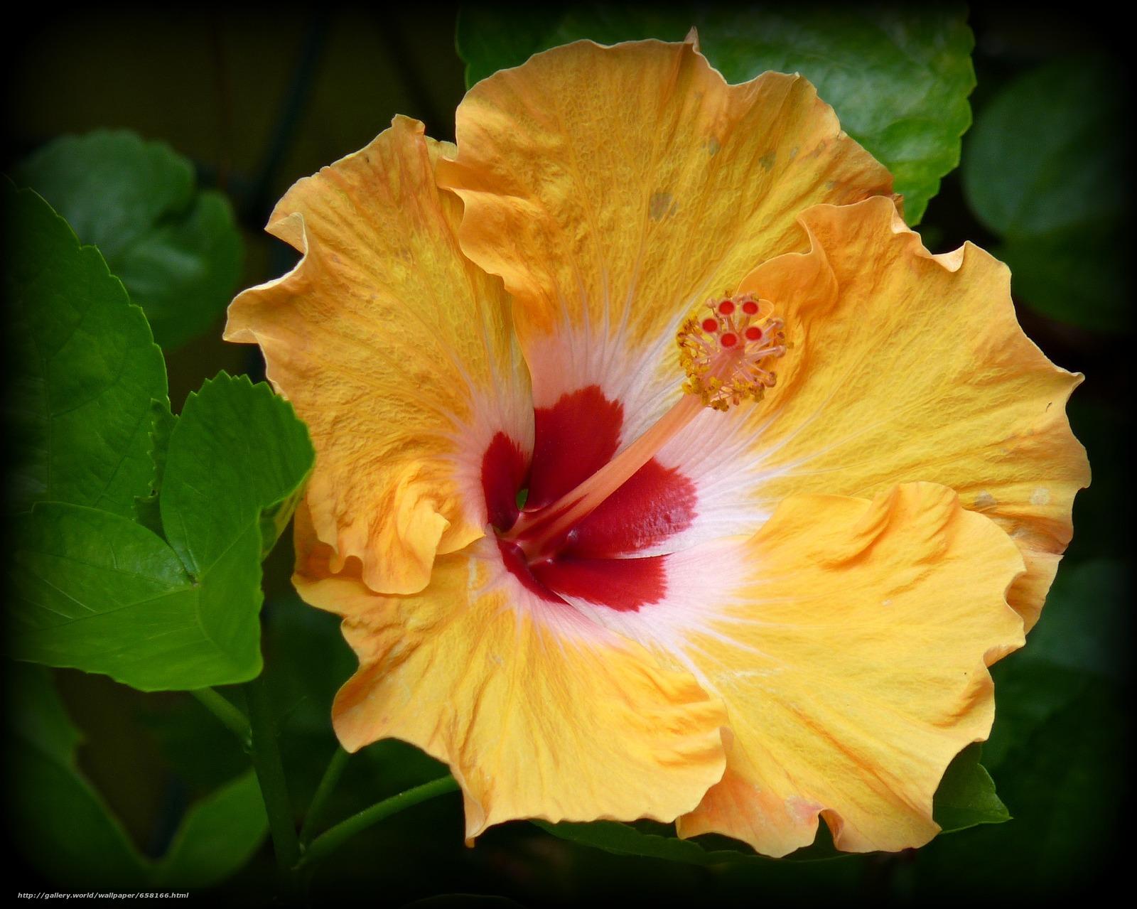Скачать обои Гибискус,  Hibiscus,  цветы,  цветок бесплатно для рабочего стола в разрешении 2374x1898 — картинка №658166
