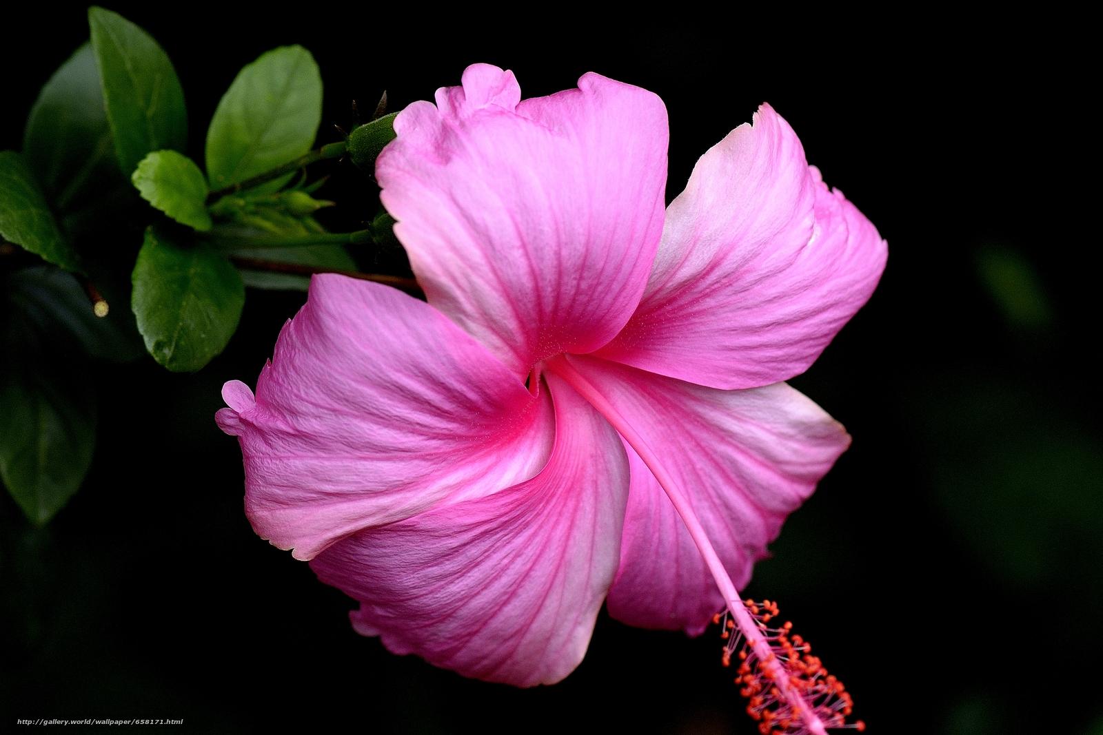 Скачать обои Гибискус,  Hibiscus,  цветы,  цветок бесплатно для рабочего стола в разрешении 4156x2771 — картинка №658171