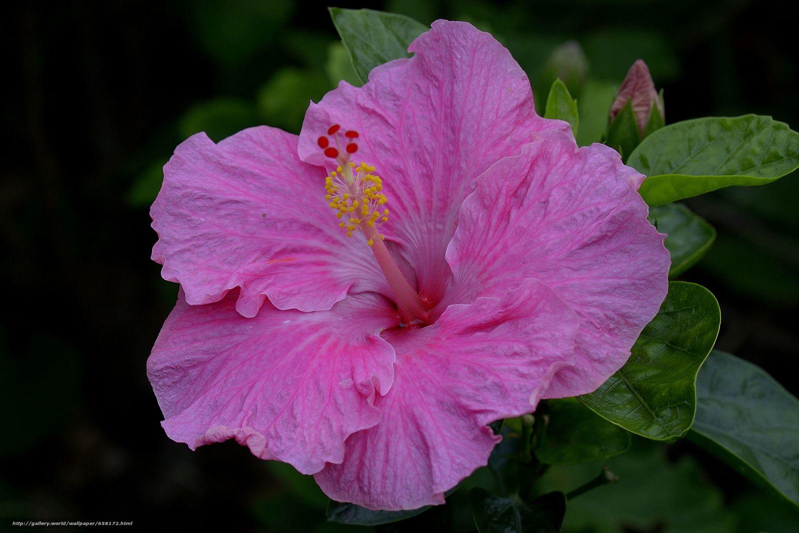 Скачать обои Гибискус,  Hibiscus,  цветы,  цветок бесплатно для рабочего стола в разрешении 4464x2976 — картинка №658172
