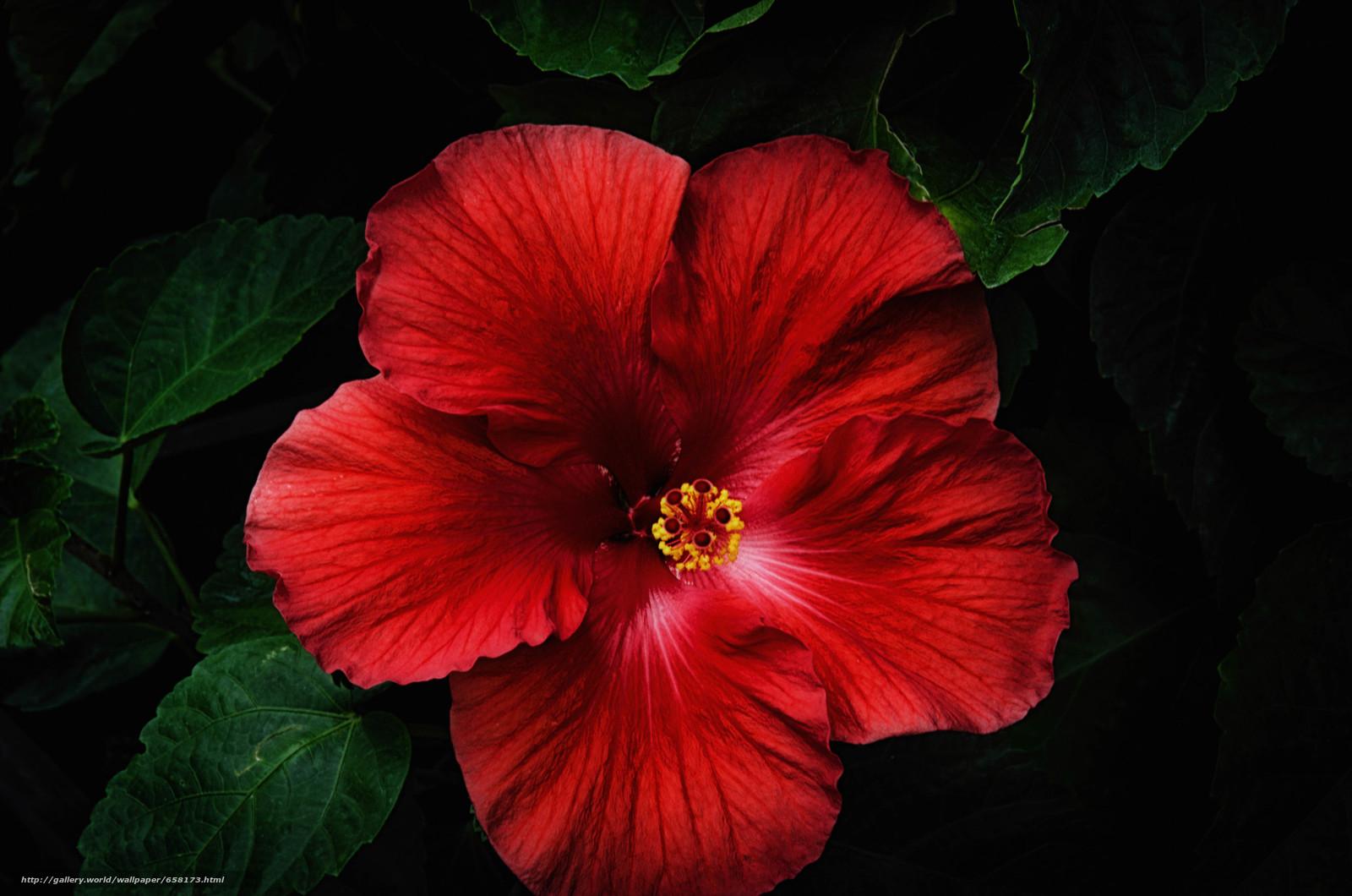 Download wallpaper hibiscus,  Hibiscus,  Flowers,  flower free desktop wallpaper in the resolution 4928x3264 — picture №658173