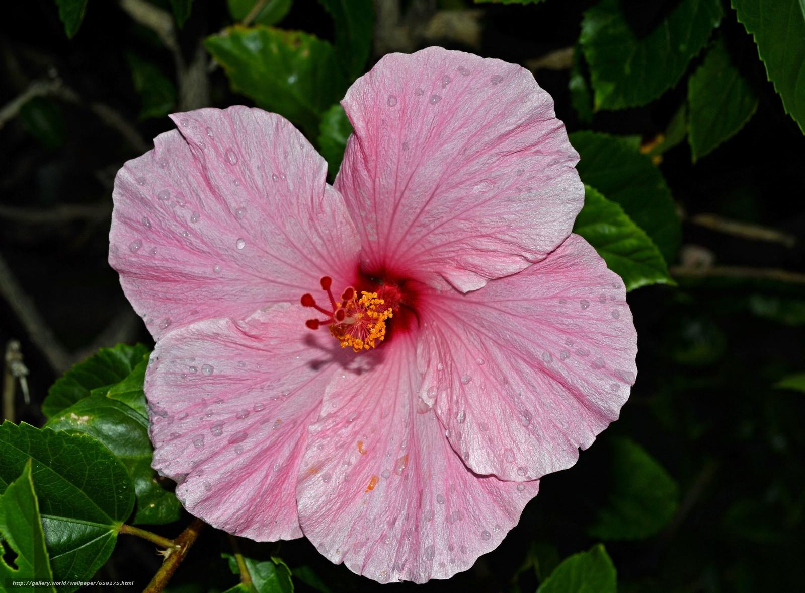 Скачать обои Гибискус,  Hibiscus,  цветы,  цветок бесплатно для рабочего стола в разрешении 5322x3917 — картинка №658175