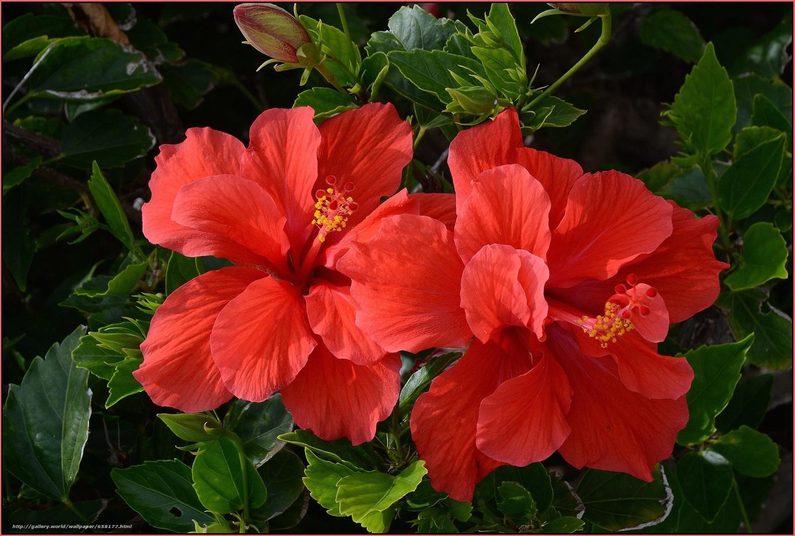 Descargar gratis hibisco,  Hibisco,  Flores,  flor Fondos de escritorio en la resolucin 2048x1381 — imagen №658177