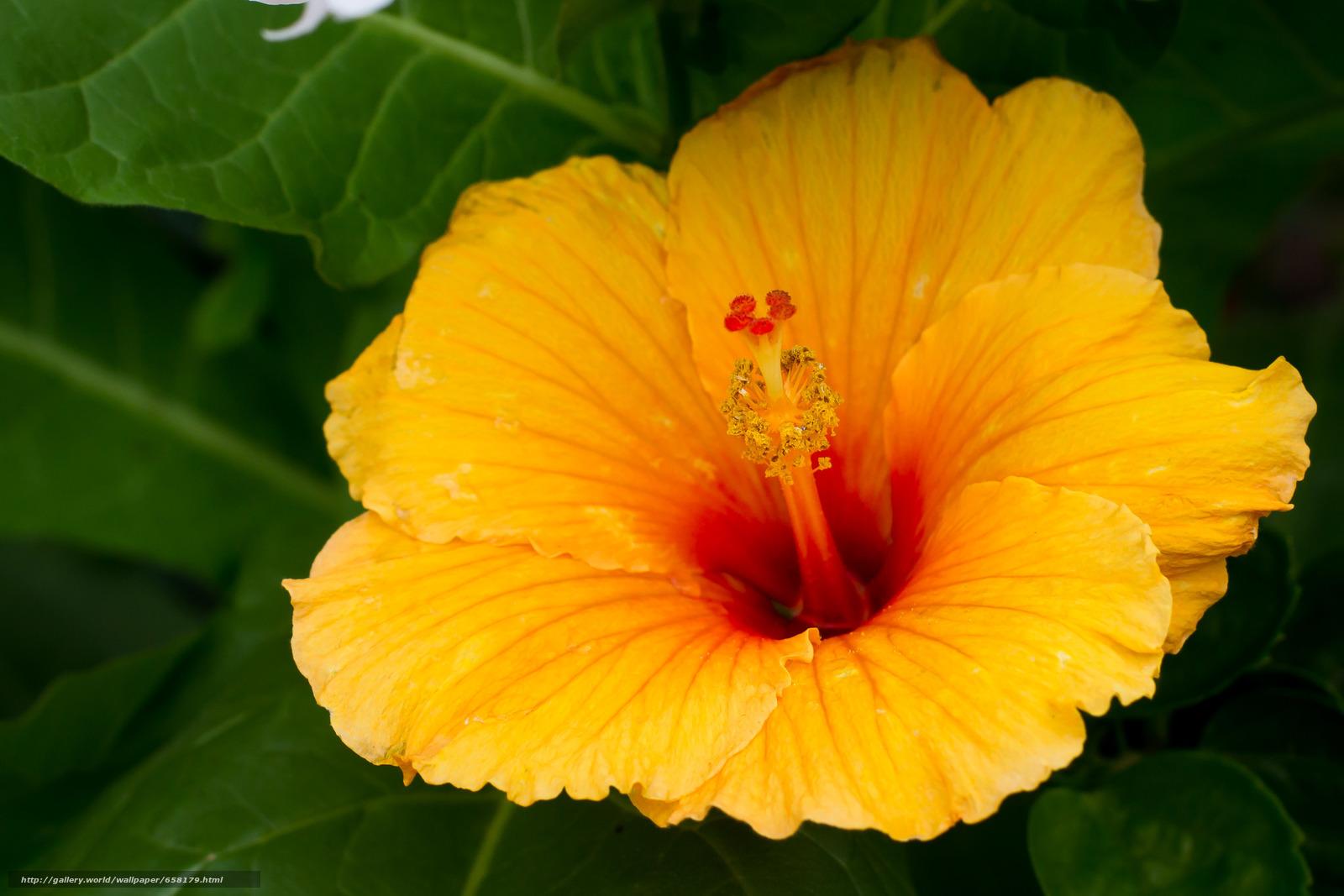 Скачать обои Гибискус,  Hibiscus,  цветы,  цветок бесплатно для рабочего стола в разрешении 3948x2632 — картинка №658179
