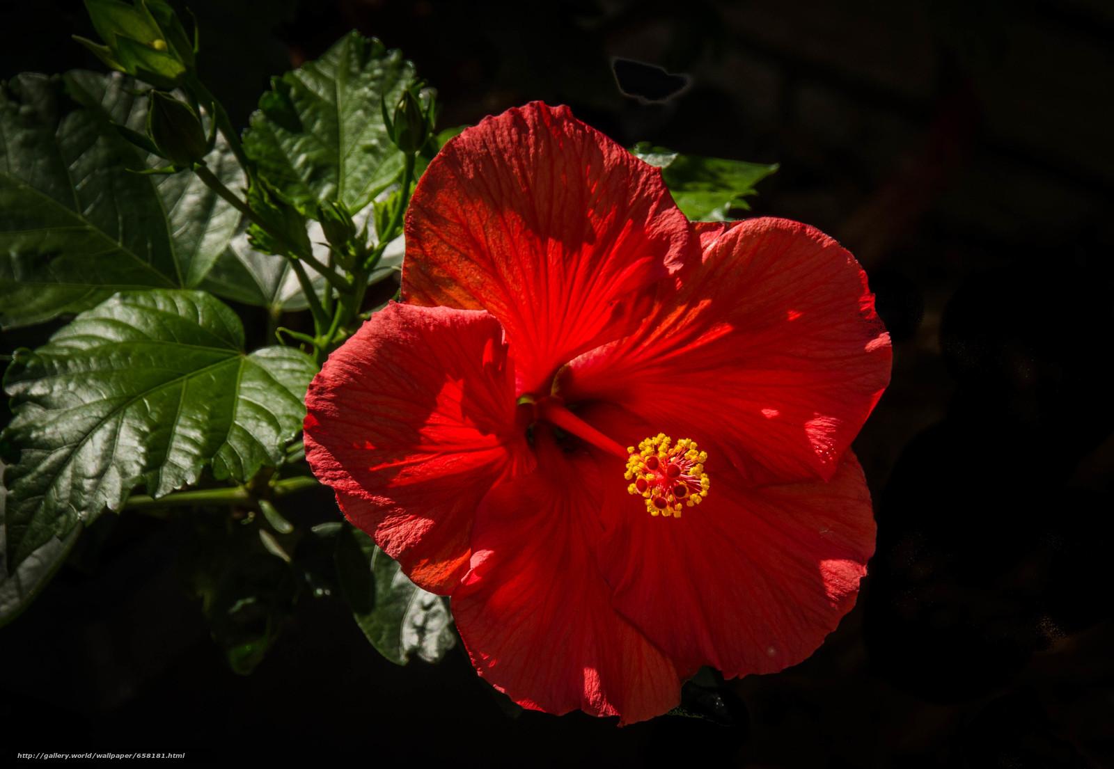 scaricare gli sfondi ibisco,  Ibisco,  Fiori,  fiore Sfondi gratis per la risoluzione del desktop 4169x2880 — immagine №658181