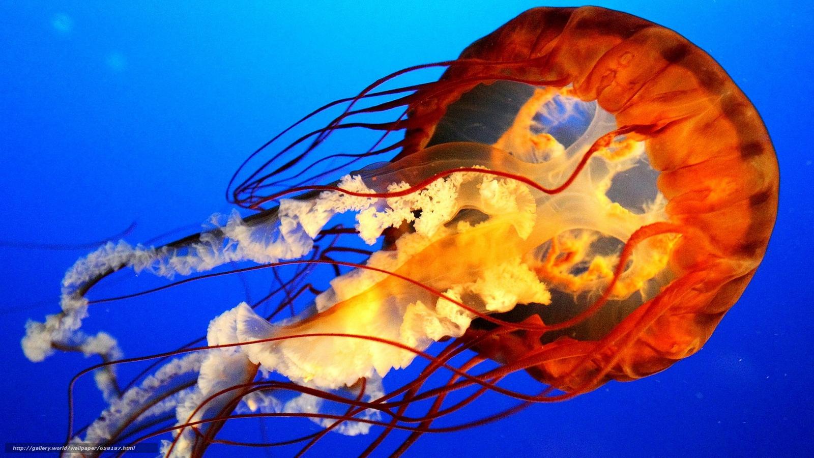 scaricare gli sfondi meduse,  Medusa,  Mondo subacqueo,  acqua Sfondi gratis per la risoluzione del desktop 2560x1440 — immagine №658187