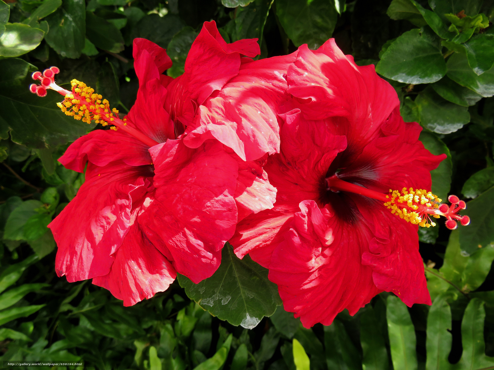 Download wallpaper hibiscus,  Hibiscus,  Flowers,  flower free desktop wallpaper in the resolution 2048x1536 — picture №658194