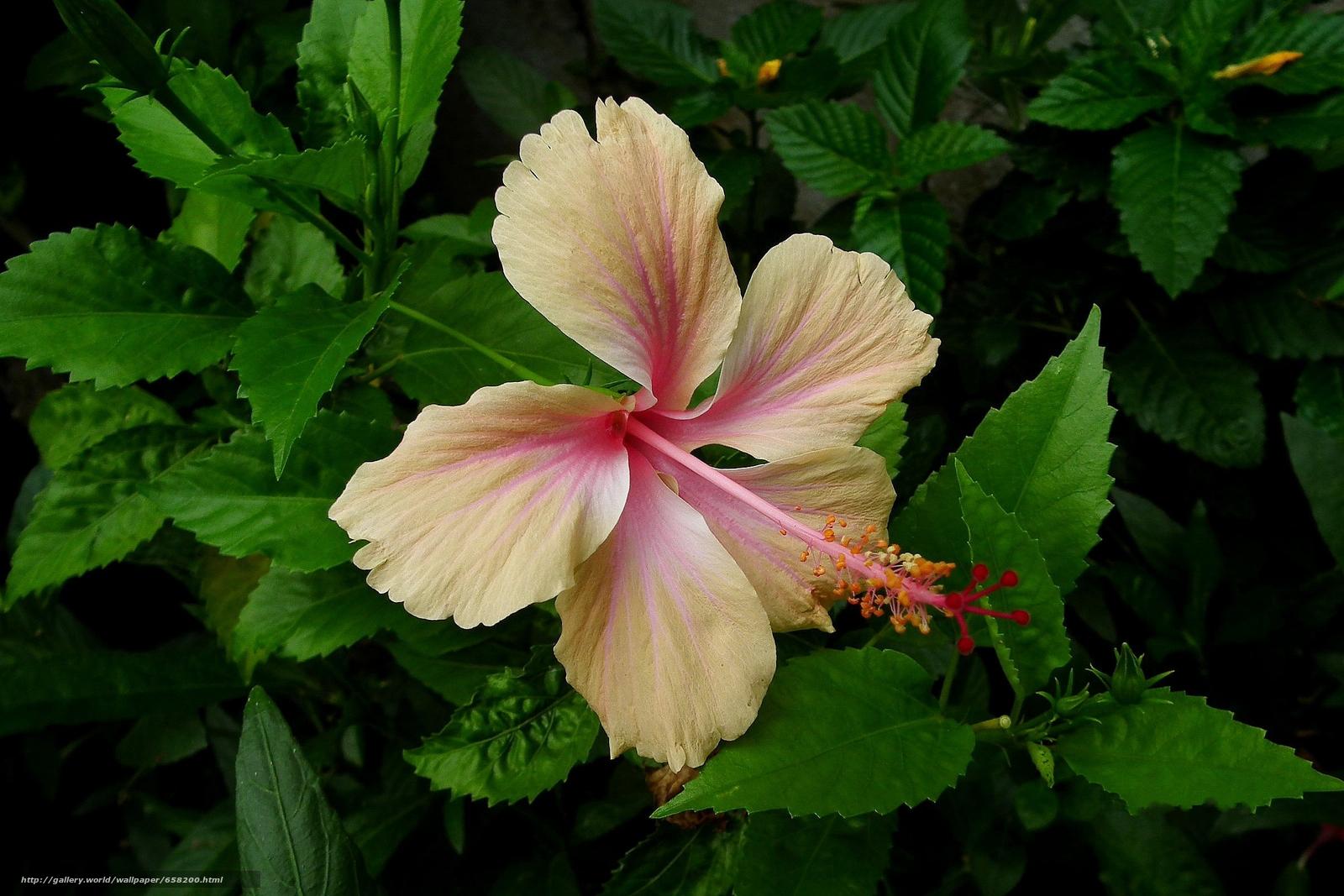 scaricare gli sfondi ibisco,  Ibisco,  Fiori,  fiore Sfondi gratis per la risoluzione del desktop 2400x1600 — immagine №658200