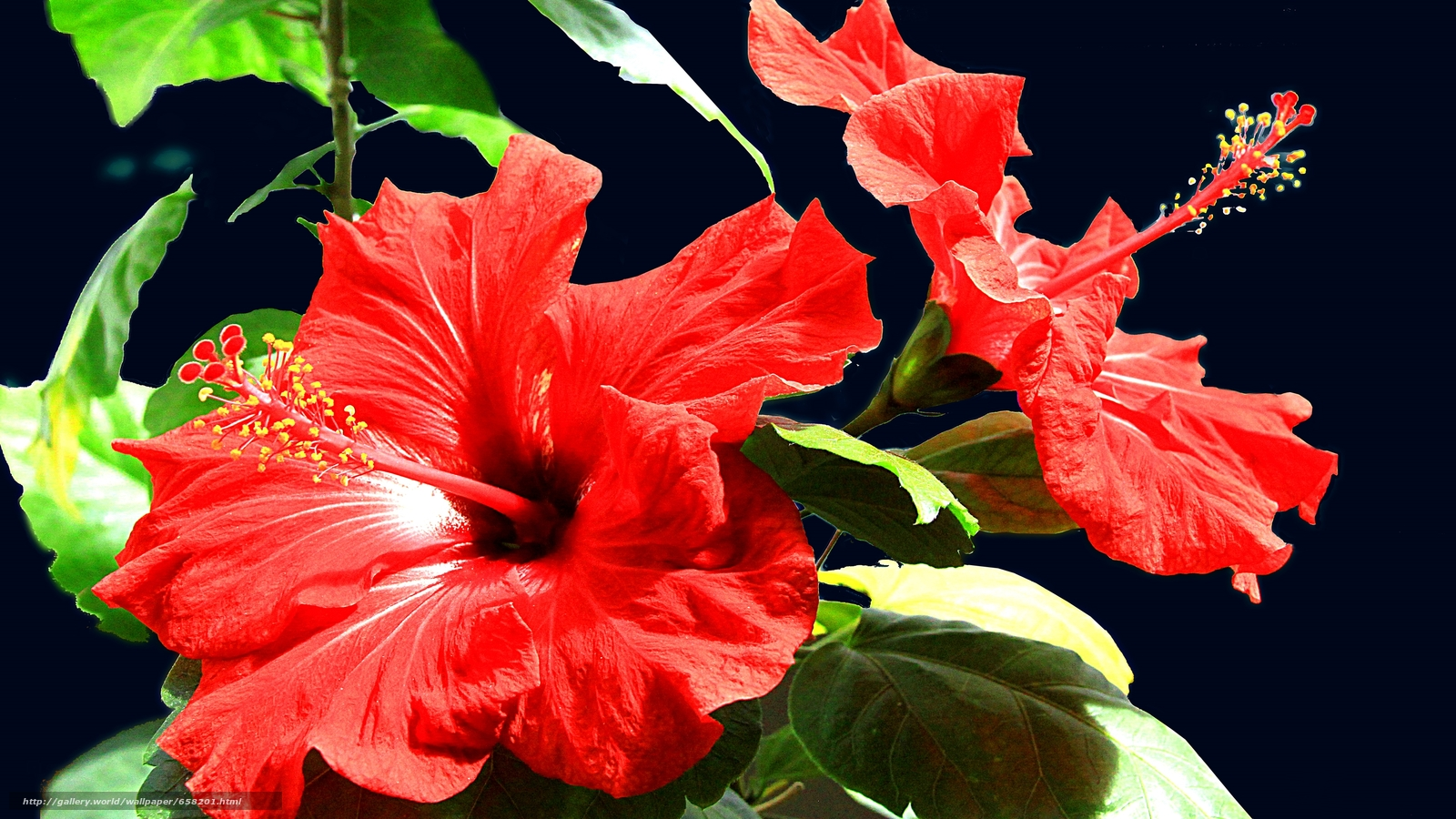 Download wallpaper hibiscus,  Hibiscus,  Flowers,  flower free desktop wallpaper in the resolution 3132x1762 — picture №658201