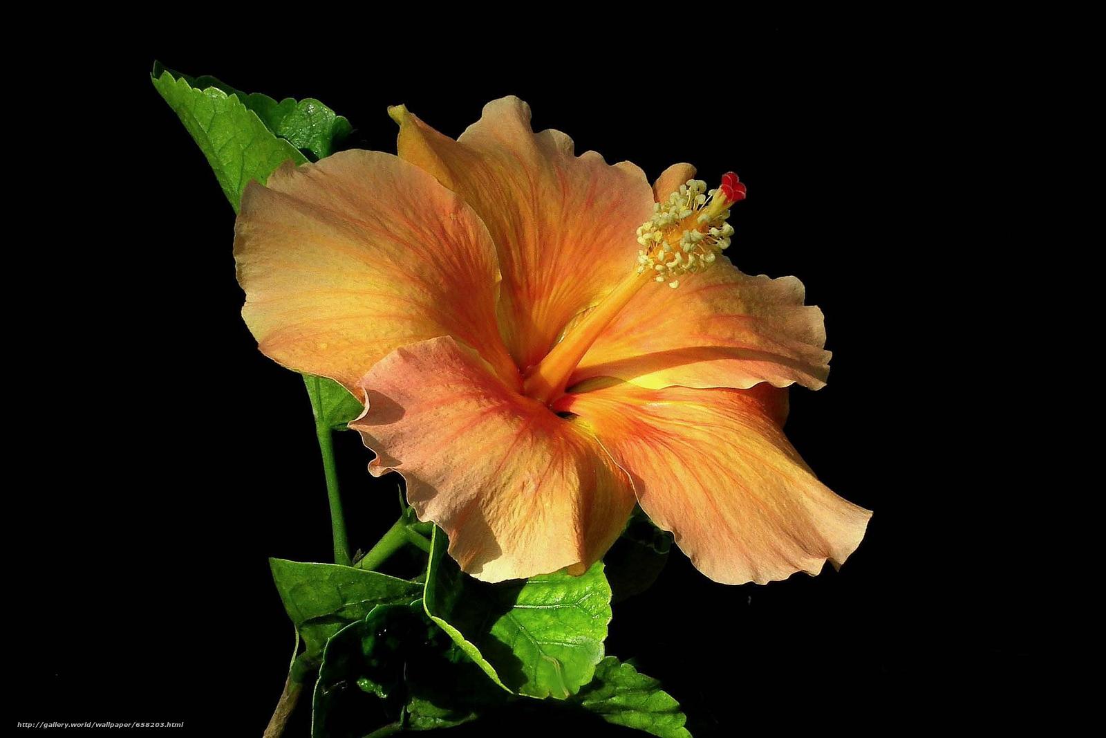 Скачать обои Гибискус,  Hibiscus,  цветы,  цветок бесплатно для рабочего стола в разрешении 2127x1418 — картинка №658203