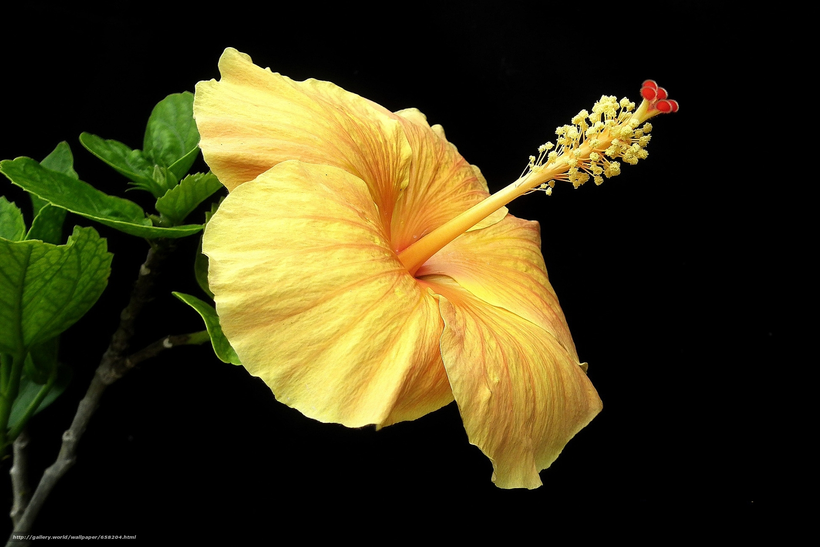Download wallpaper hibiscus,  Hibiscus,  Flowers,  flower free desktop wallpaper in the resolution 1950x1300 — picture №658204