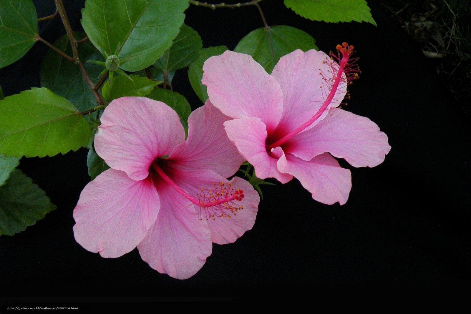 Descargar gratis hibisco,  Hibisco,  Flores,  flor Fondos de escritorio en la resolucin 3646x2431 — imagen №658210