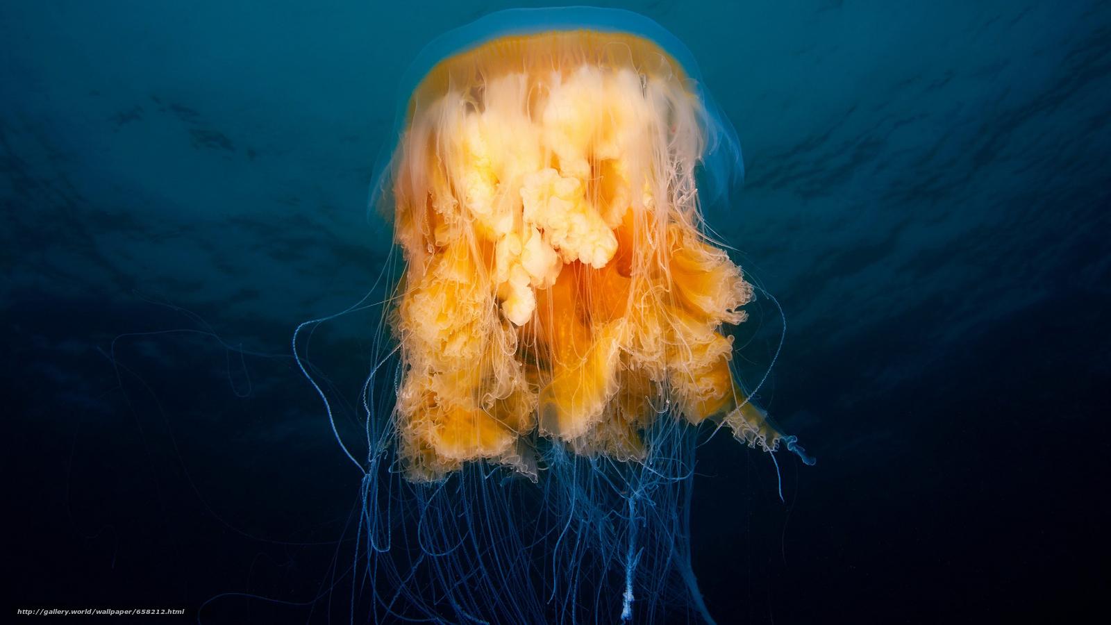 Скачать обои медуза,  медузы,  подводный мир,  вода бесплатно для рабочего стола в разрешении 2560x1440 — картинка №658212