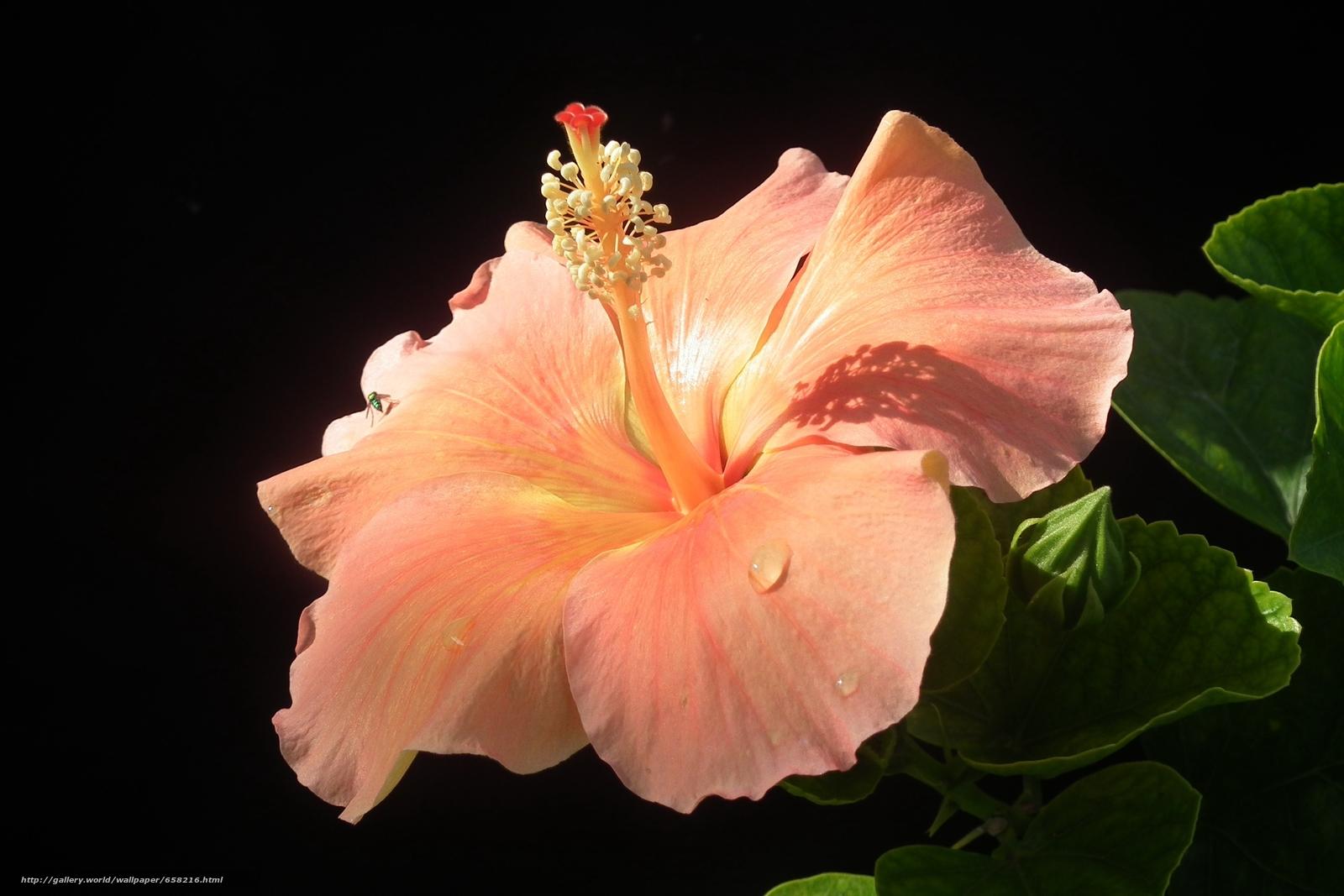 scaricare gli sfondi ibisco,  Ibisco,  Fiori,  fiore Sfondi gratis per la risoluzione del desktop 2592x1728 — immagine №658216