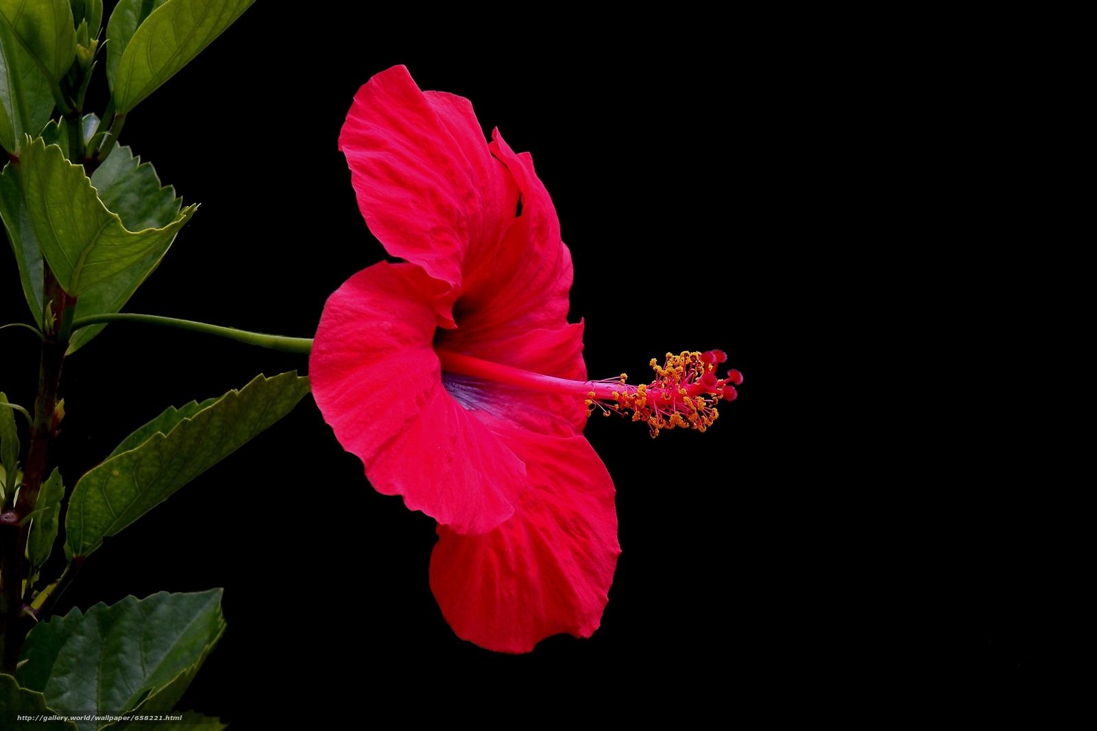 scaricare gli sfondi ibisco,  Ibisco,  Fiori,  fiore Sfondi gratis per la risoluzione del desktop 3648x2432 — immagine №658221
