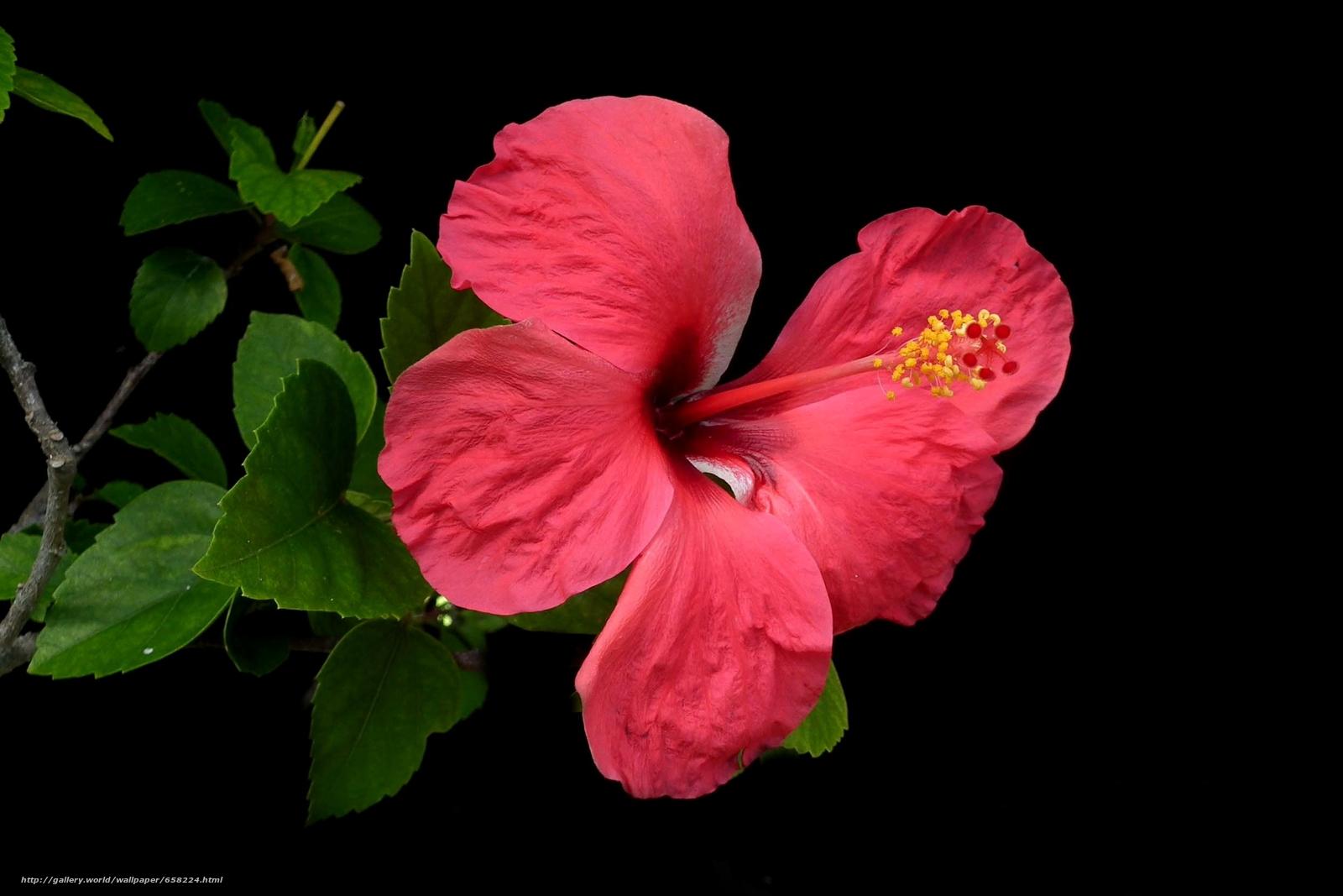 Скачать обои Гибискус,  Hibiscus,  цветы,  цветок бесплатно для рабочего стола в разрешении 2489x1660 — картинка №658224