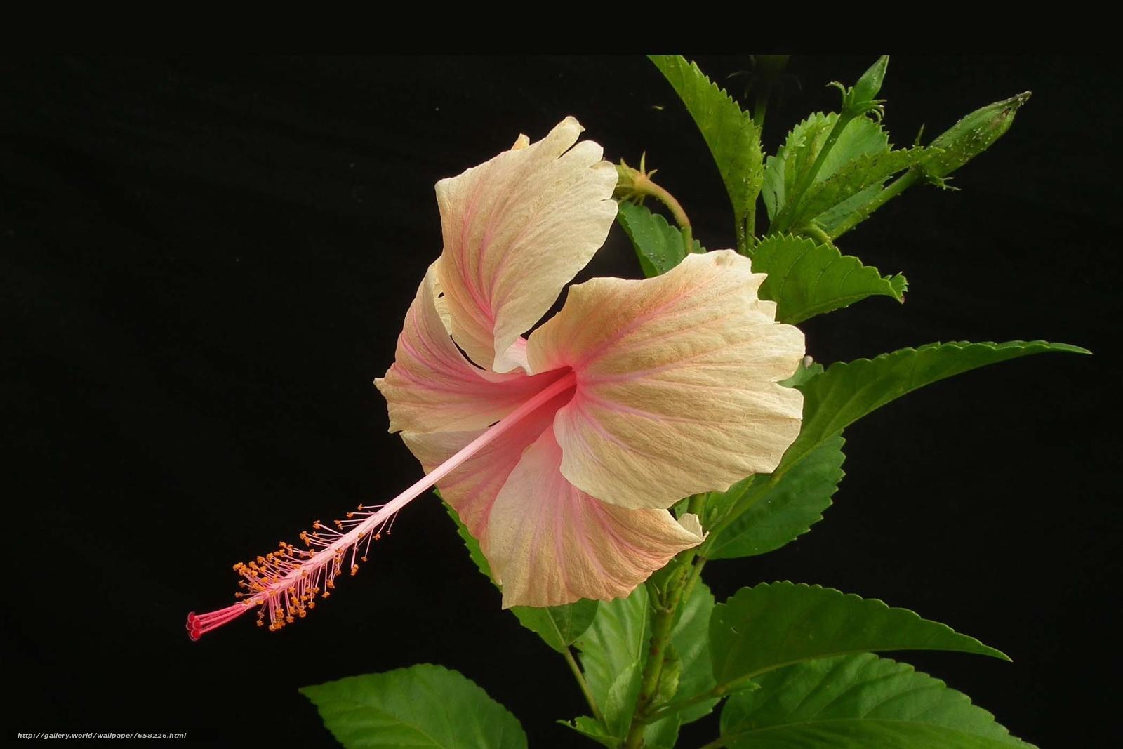 scaricare gli sfondi ibisco,  Ibisco,  Fiori,  fiore Sfondi gratis per la risoluzione del desktop 2100x1400 — immagine №658226