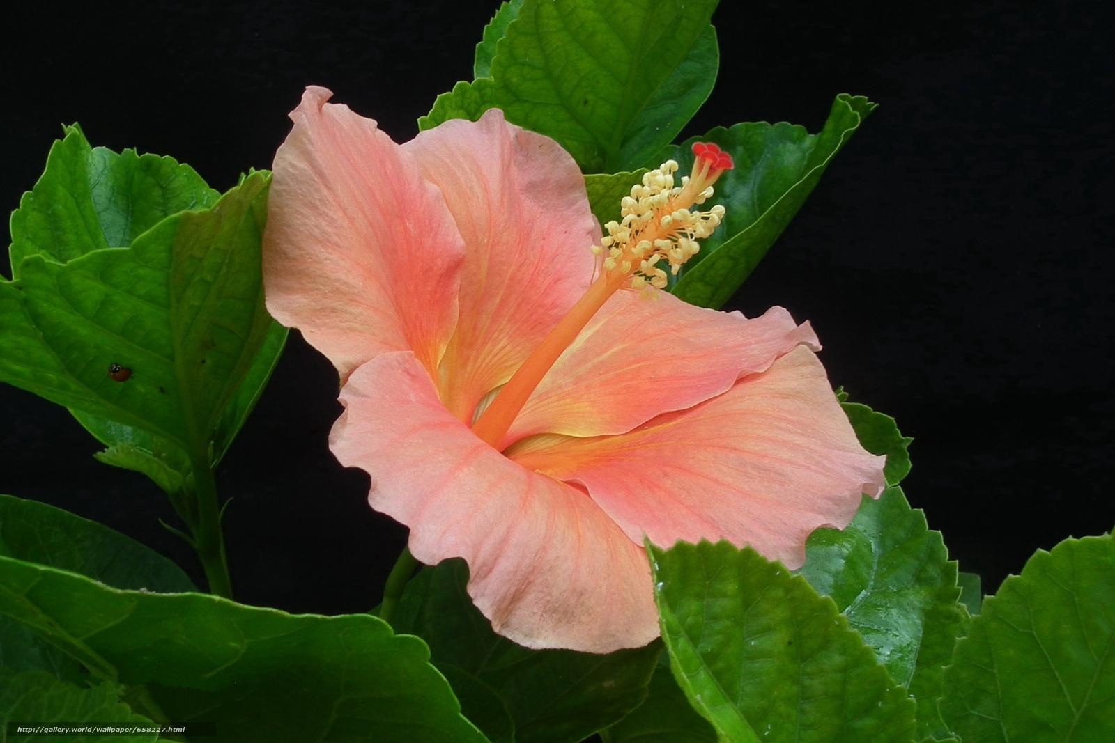 scaricare gli sfondi ibisco,  Ibisco,  Fiori,  fiore Sfondi gratis per la risoluzione del desktop 1950x1300 — immagine №658227
