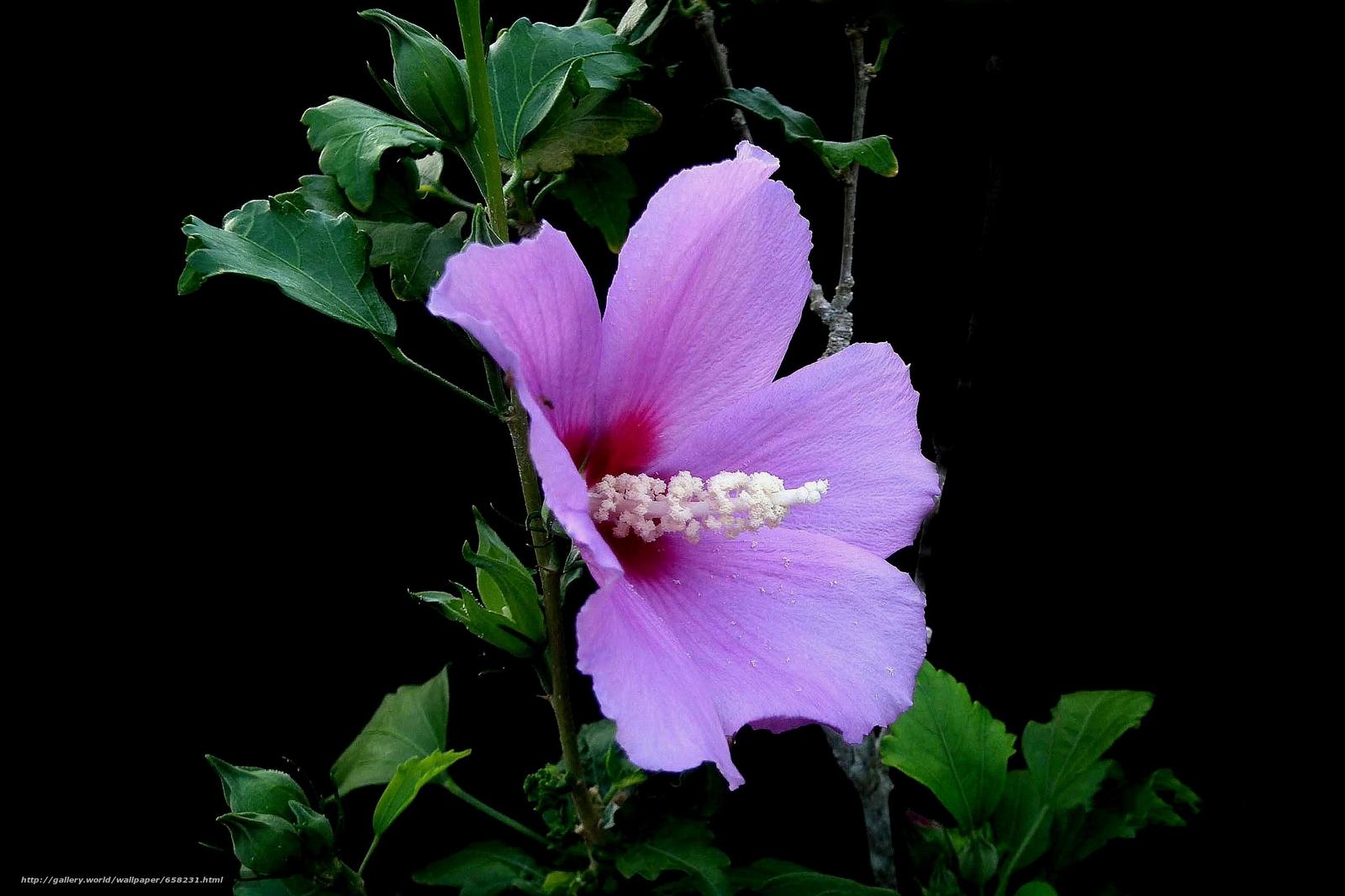 Скачать обои Гибискус,  Hibiscus,  цветы,  цветок бесплатно для рабочего стола в разрешении 2592x1727 — картинка №658231