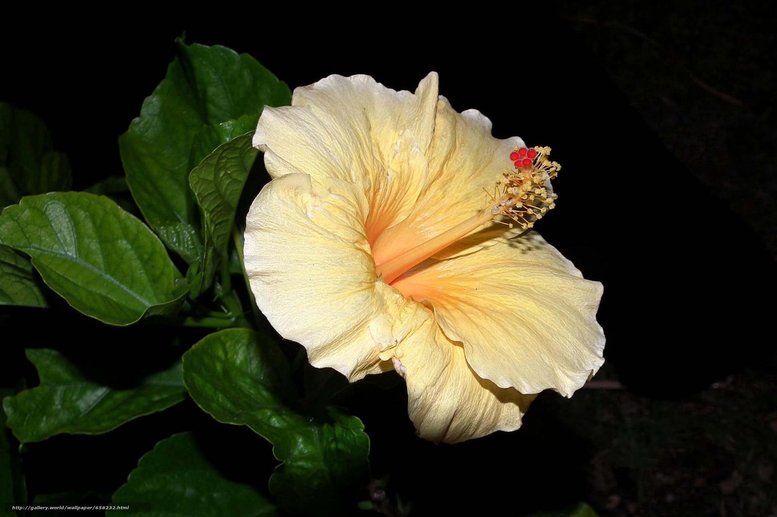 Скачать обои Гибискус,  Hibiscus,  цветы,  цветок бесплатно для рабочего стола в разрешении 2318x1545 — картинка №658232