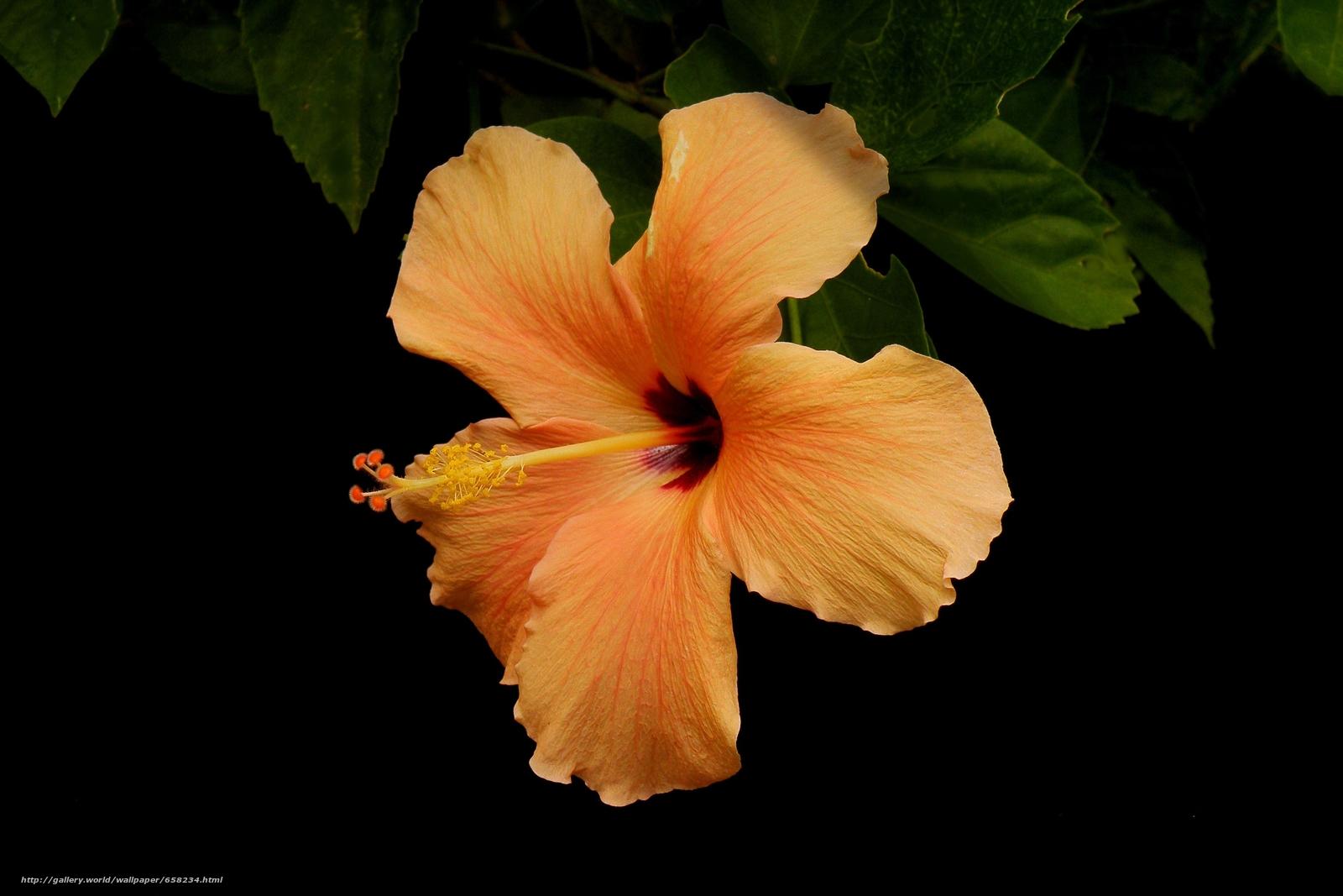 Скачать обои Гибискус,  Hibiscus,  цветы,  цветок бесплатно для рабочего стола в разрешении 3648x2432 — картинка №658234