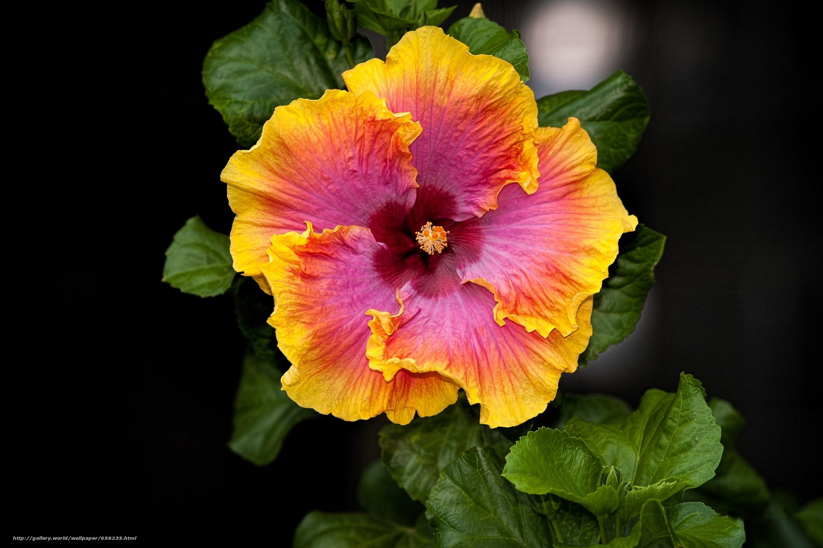 Скачать обои Гибискус,  Hibiscus,  цветы,  цветок бесплатно для рабочего стола в разрешении 2048x1365 — картинка №658235