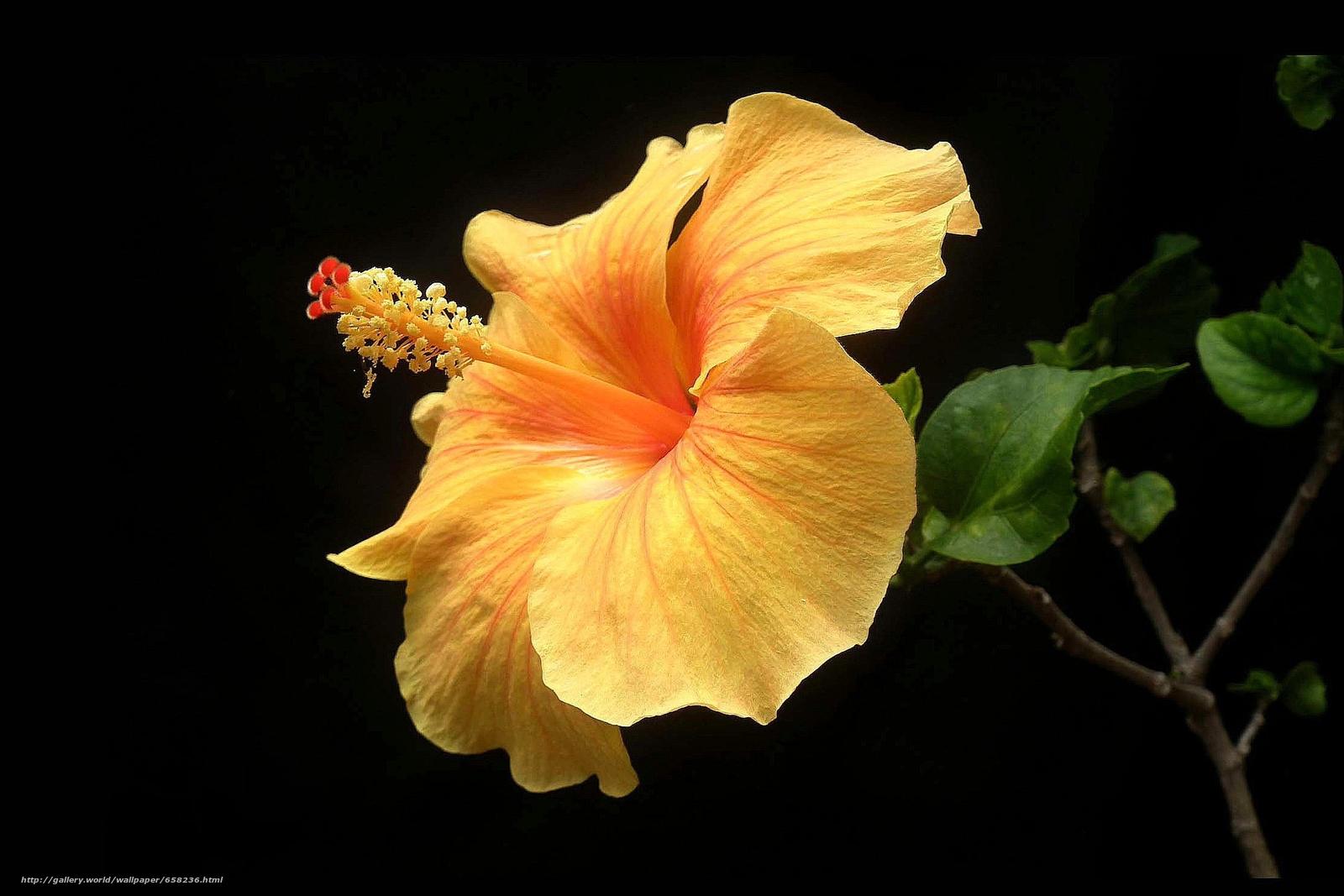 scaricare gli sfondi ibisco,  Ibisco,  Fiori,  fiore Sfondi gratis per la risoluzione del desktop 2220x1480 — immagine №658236