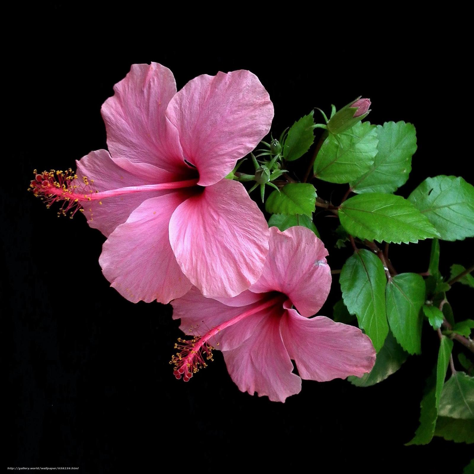 Descargar gratis hibisco,  Hibisco,  Flores,  flor Fondos de escritorio en la resolucin 1727x1728 — imagen №658239
