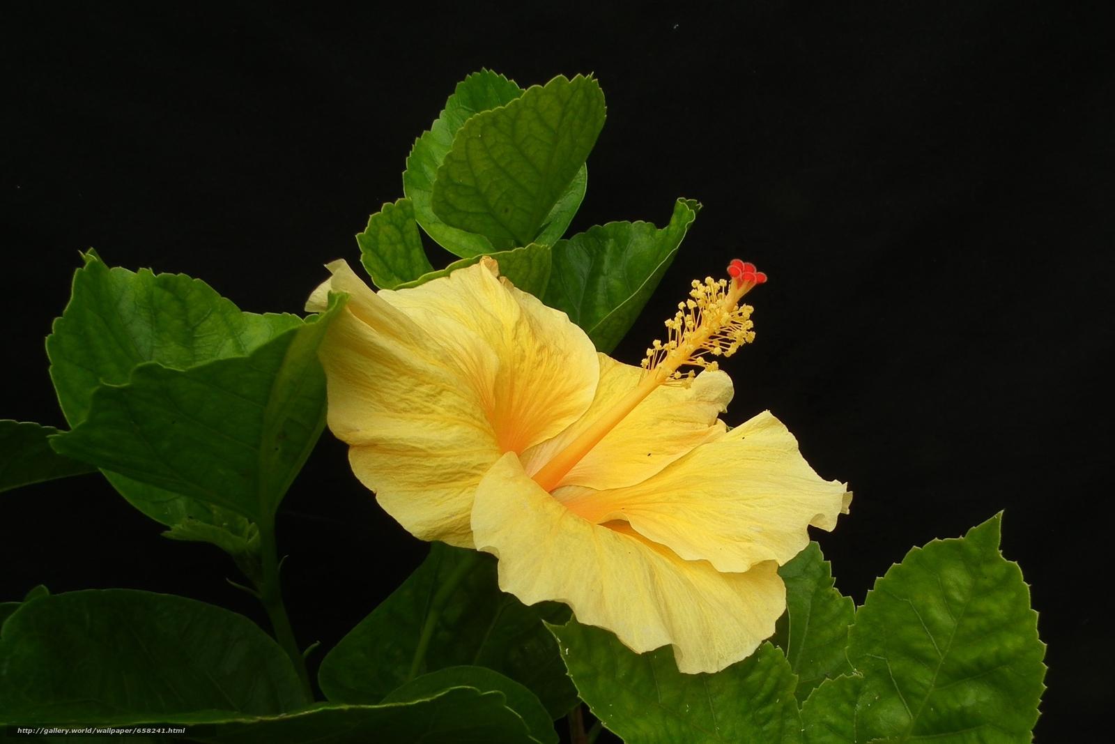 Скачать обои Гибискус,  Hibiscus,  цветы,  цветок бесплатно для рабочего стола в разрешении 2100x1400 — картинка №658241