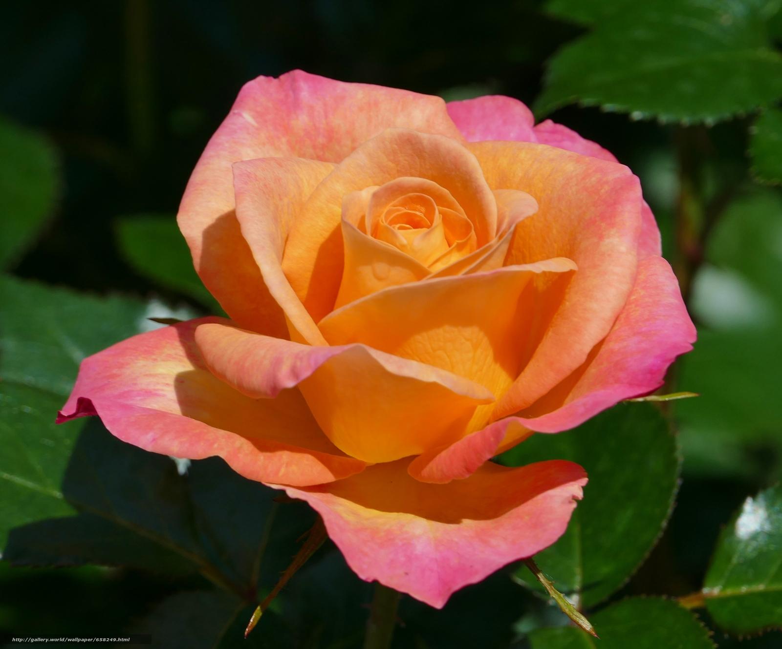 scaricare gli sfondi rosa,  Roses,  Fiori,  flora Sfondi gratis per la risoluzione del desktop 3648x3031 — immagine №658249