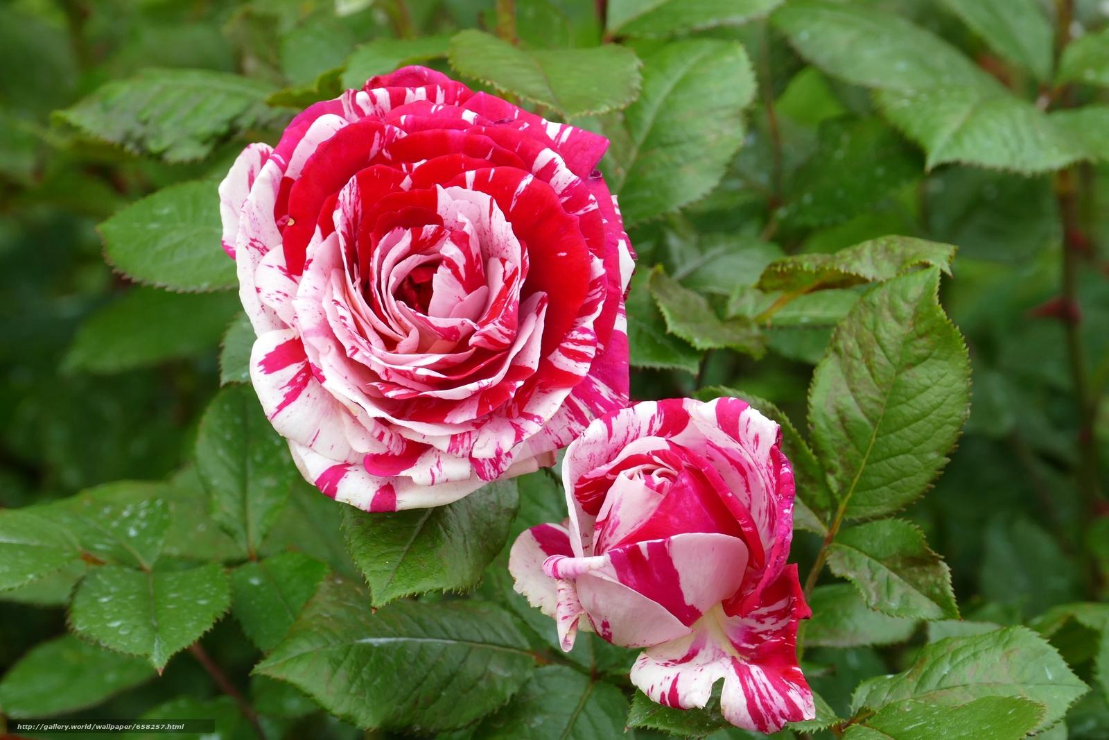 Скачать обои роза,  розы,  цветы,  флора бесплатно для рабочего стола в разрешении 5472x3648 — картинка №658257