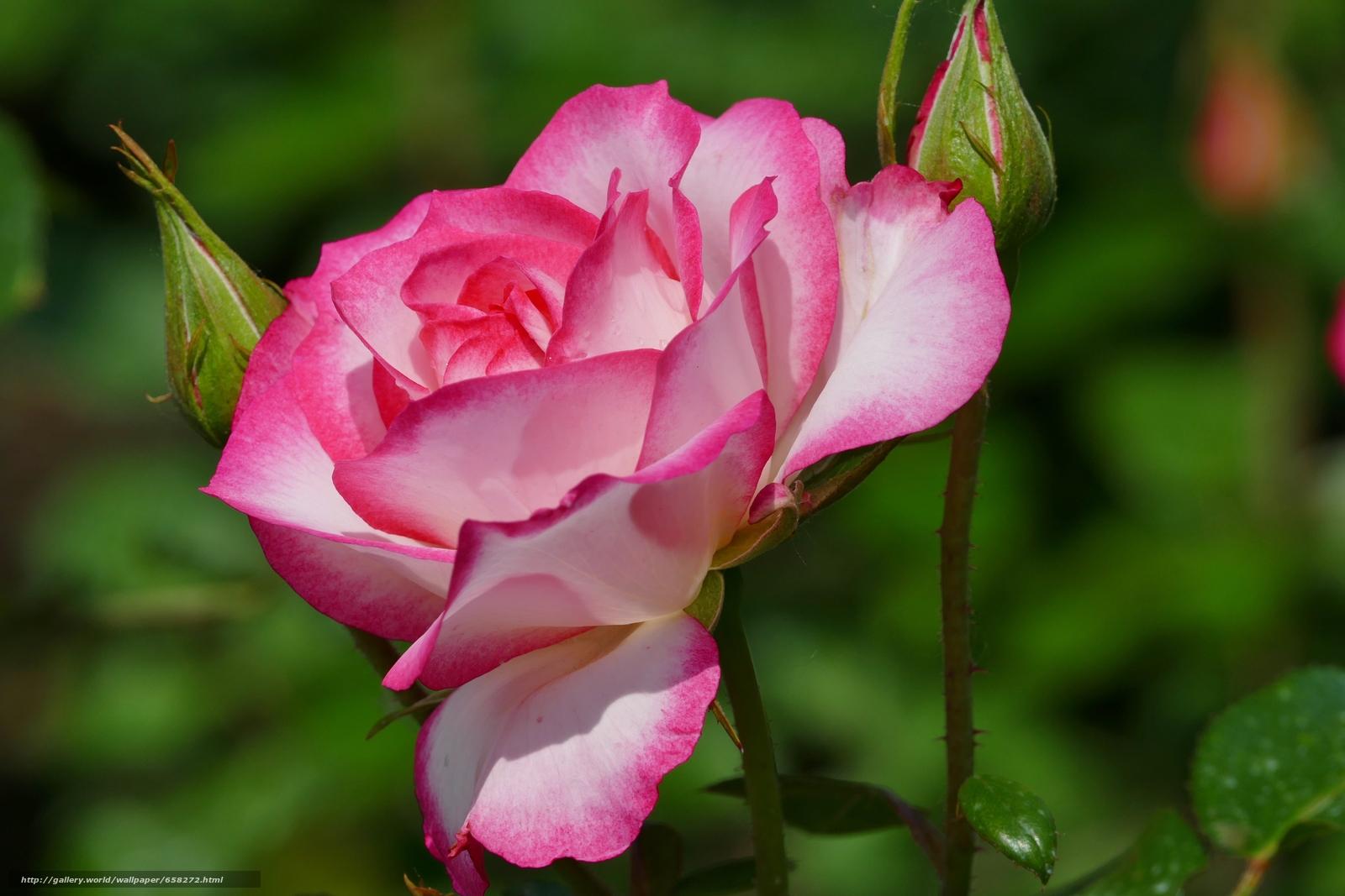 Скачать обои роза,  розы,  цветы,  флора бесплатно для рабочего стола в разрешении 5472x3648 — картинка №658272