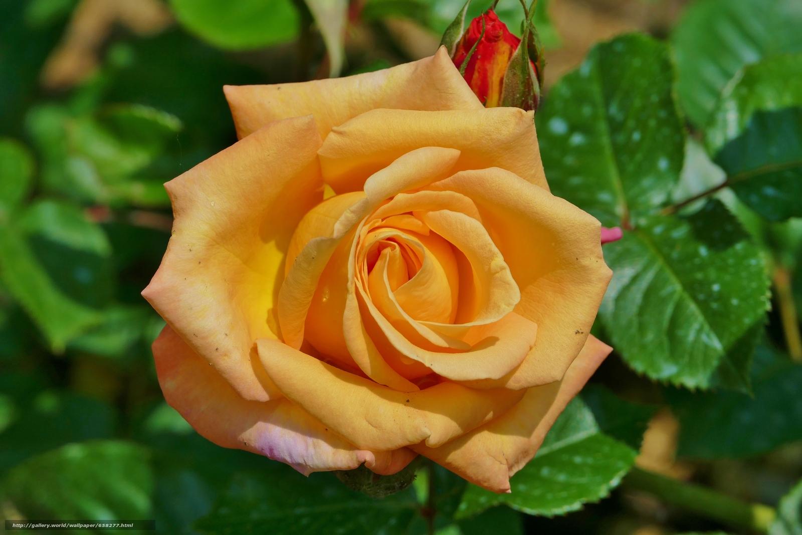 scaricare gli sfondi rosa,  Roses,  Fiori,  flora Sfondi gratis per la risoluzione del desktop 5472x3648 — immagine №658277