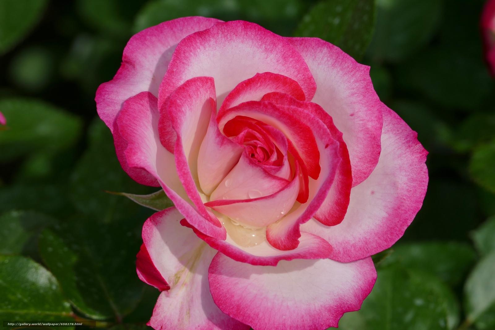 Descargar gratis rosa,  Roses,  Flores,  flora Fondos de escritorio en la resolucin 5472x3648 — imagen №658278