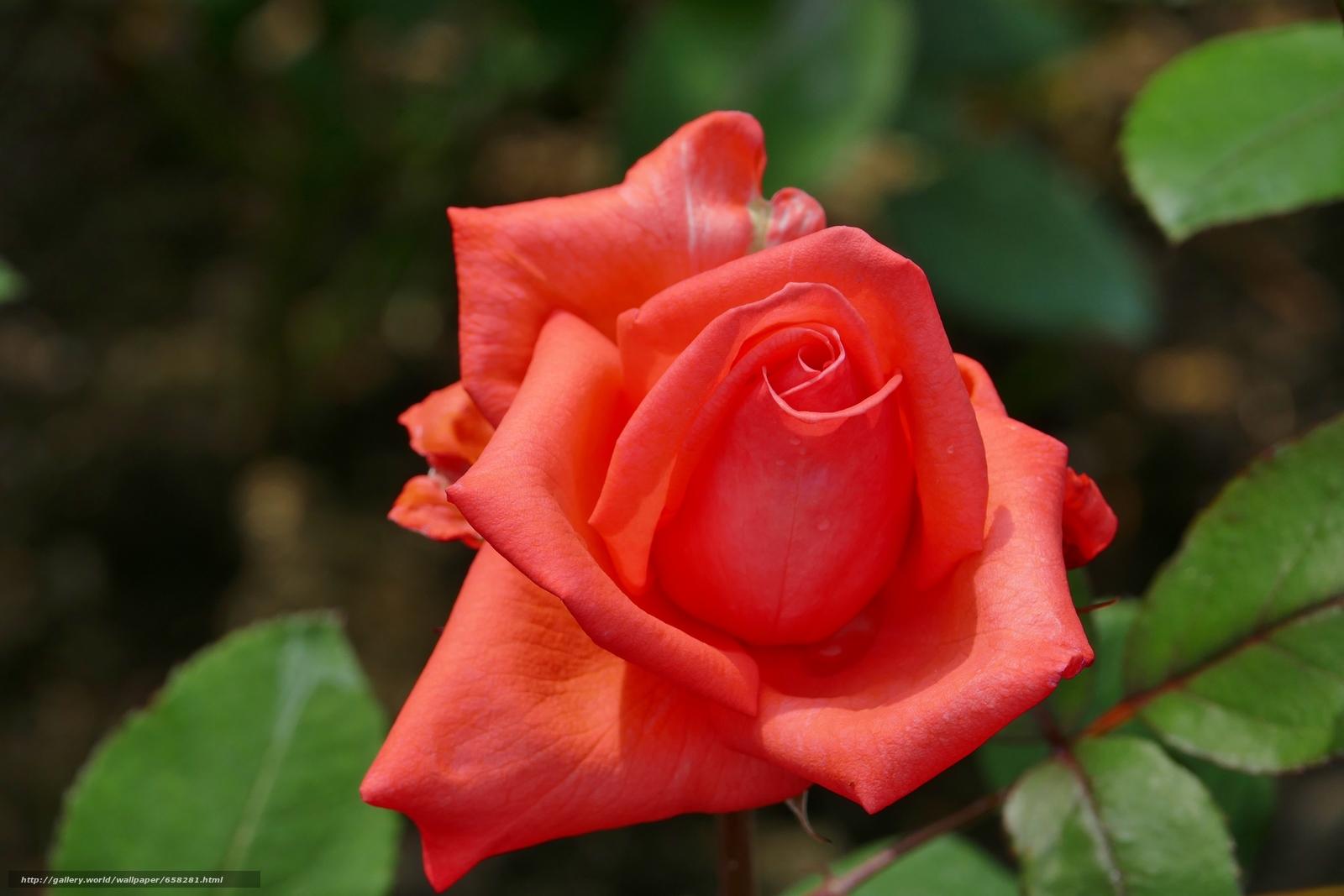 Скачать обои роза,  розы,  цветы,  флора бесплатно для рабочего стола в разрешении 5472x3648 — картинка №658281