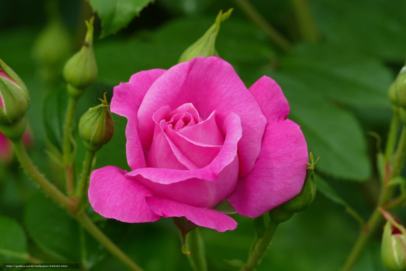 scaricare gli sfondi rosa,  Roses,  Fiori,  flora Sfondi gratis per la risoluzione del desktop 5472x3648 — immagine №658282