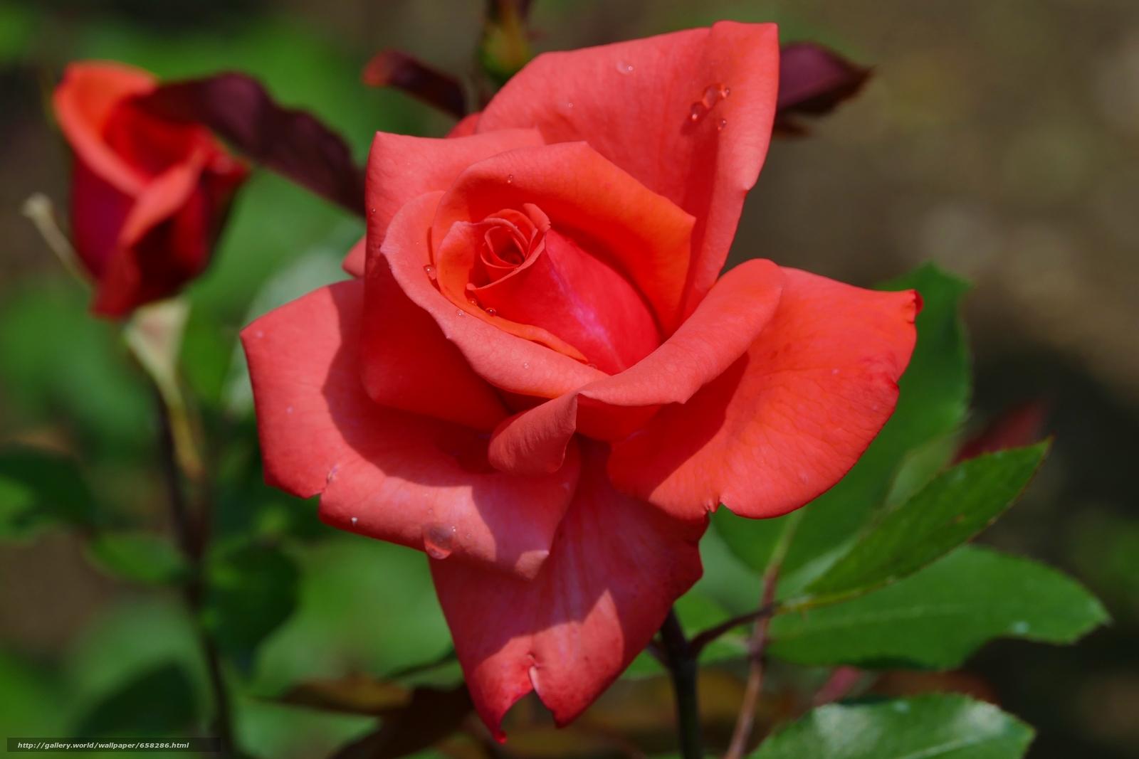 Descargar gratis rosa,  Roses,  Flores,  flora Fondos de escritorio en la resolucin 5472x3648 — imagen №658286