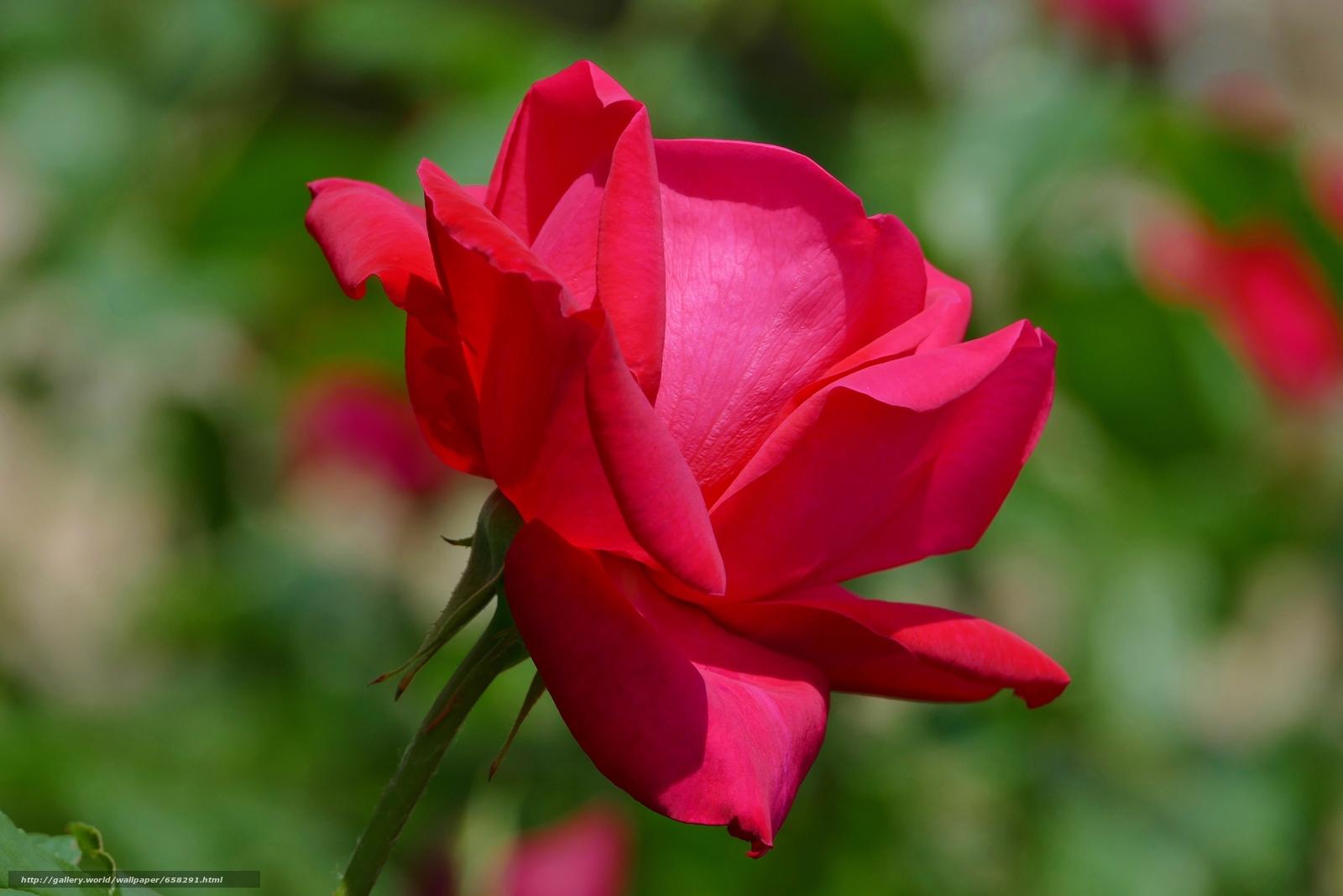 Descargar gratis rosa,  Roses,  Flores,  flora Fondos de escritorio en la resolucin 5472x3648 — imagen №658291