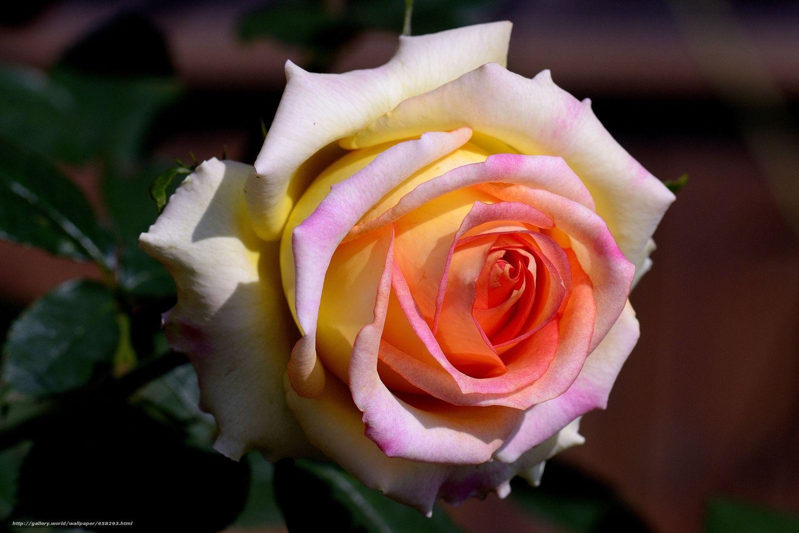 下载壁纸 玫瑰,  玫瑰,  花卉,  植物群 免费为您的桌面分辨率的壁纸 4650x3100 — 图片 №658293