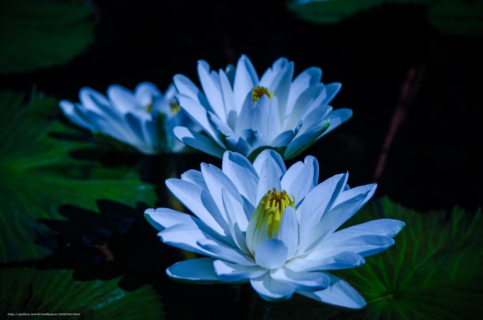Скачать обои водяная лилия,  водяные лилии,  цветы,  флора бесплатно для рабочего стола в разрешении 4928x3264 — картинка №658296