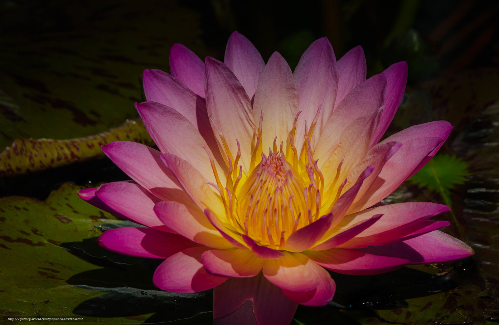 Download wallpaper water lily,  Water Lilies,  Flowers,  flora free desktop wallpaper in the resolution 2962x1929 — picture №658297