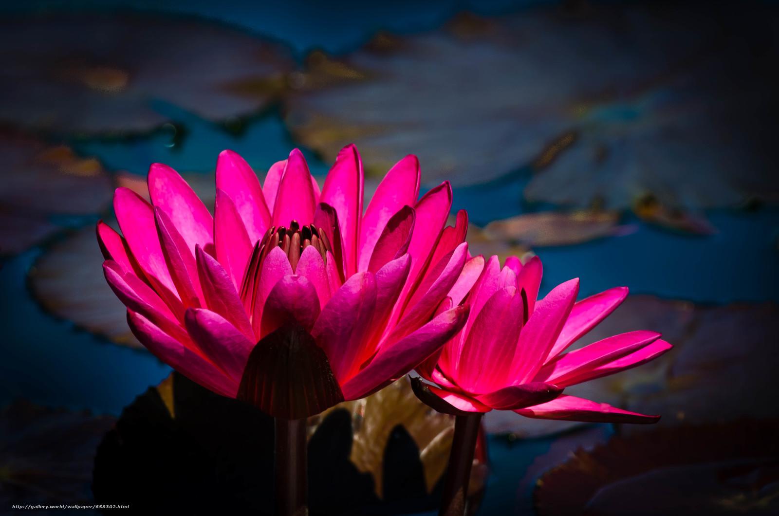Скачать обои водяная лилия,  водяные лилии,  цветы,  флора бесплатно для рабочего стола в разрешении 4928x3264 — картинка №658302