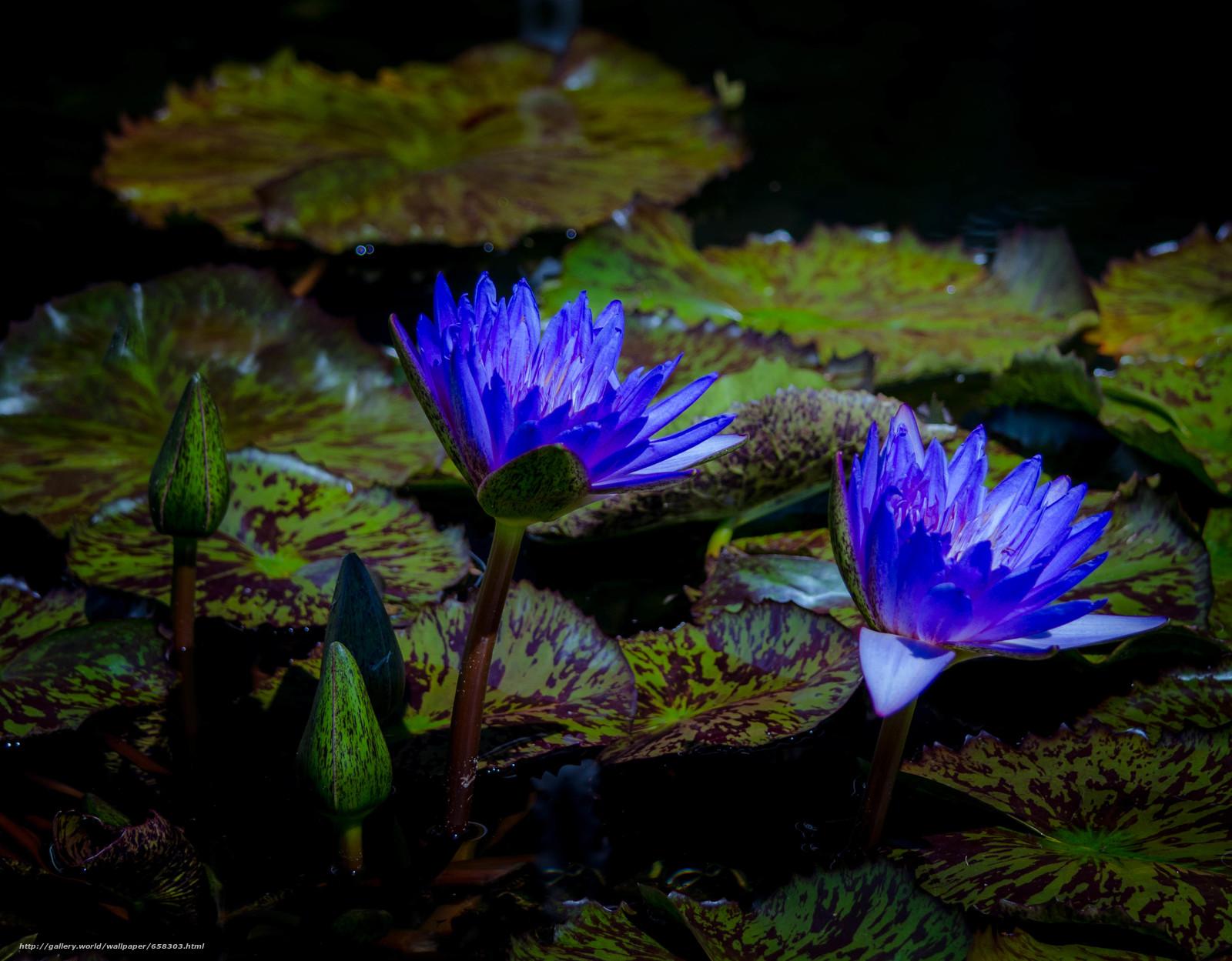 Descargar gratis nenúfar,  Nenúfares,  Flores,  flora Fondos de escritorio en la resolucin 3328x2597 — imagen №658303