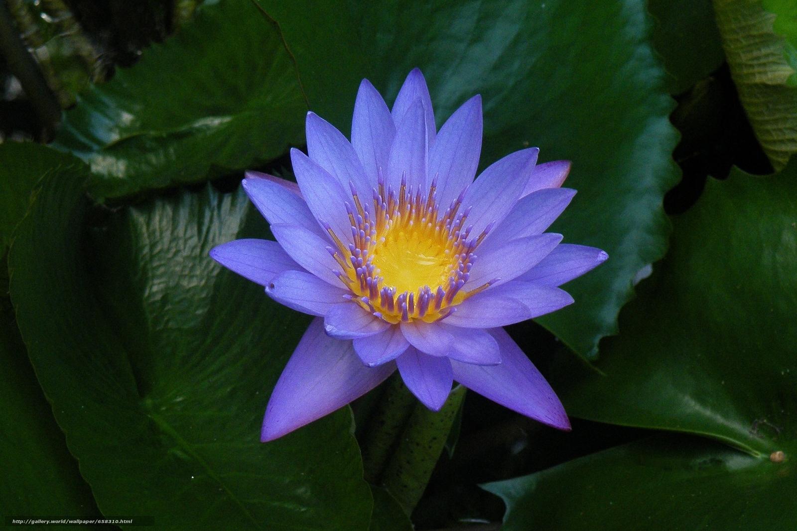 Скачать обои водяная лилия,  водяные лилии,  цветы,  флора бесплатно для рабочего стола в разрешении 2895x1930 — картинка №658310